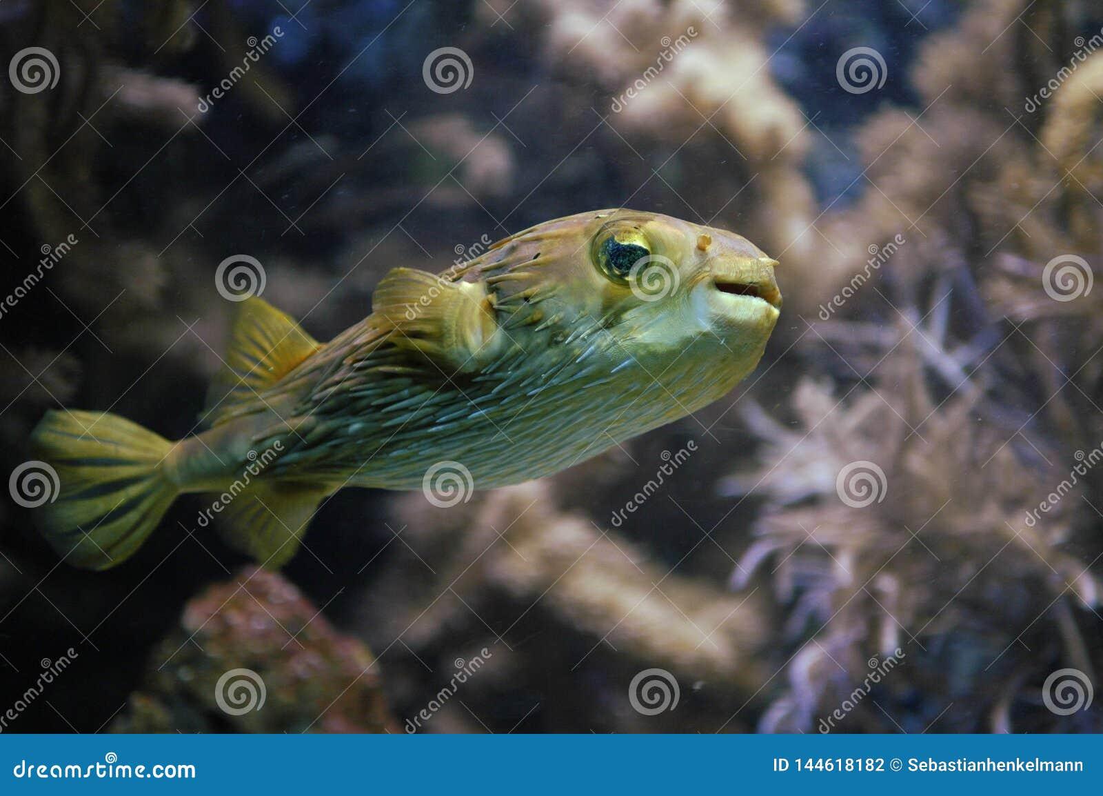 Natação do Blowfish
