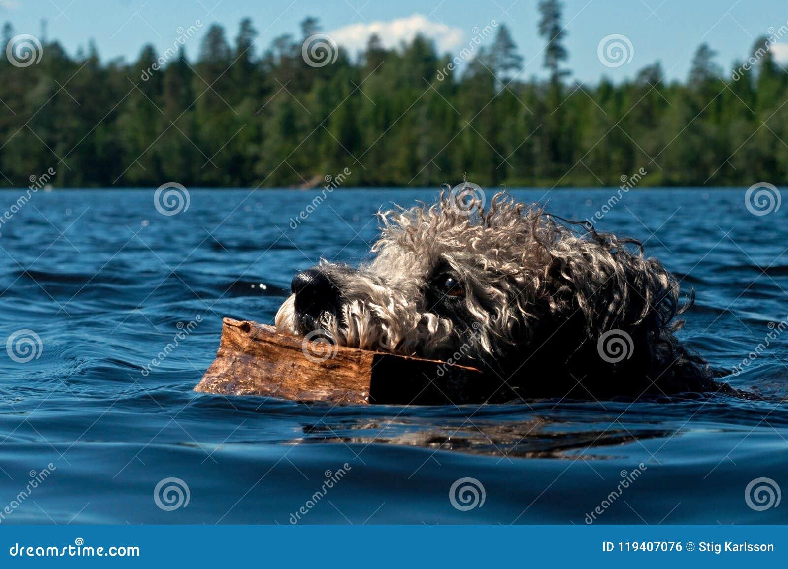 Natação do cão de Pumi na água