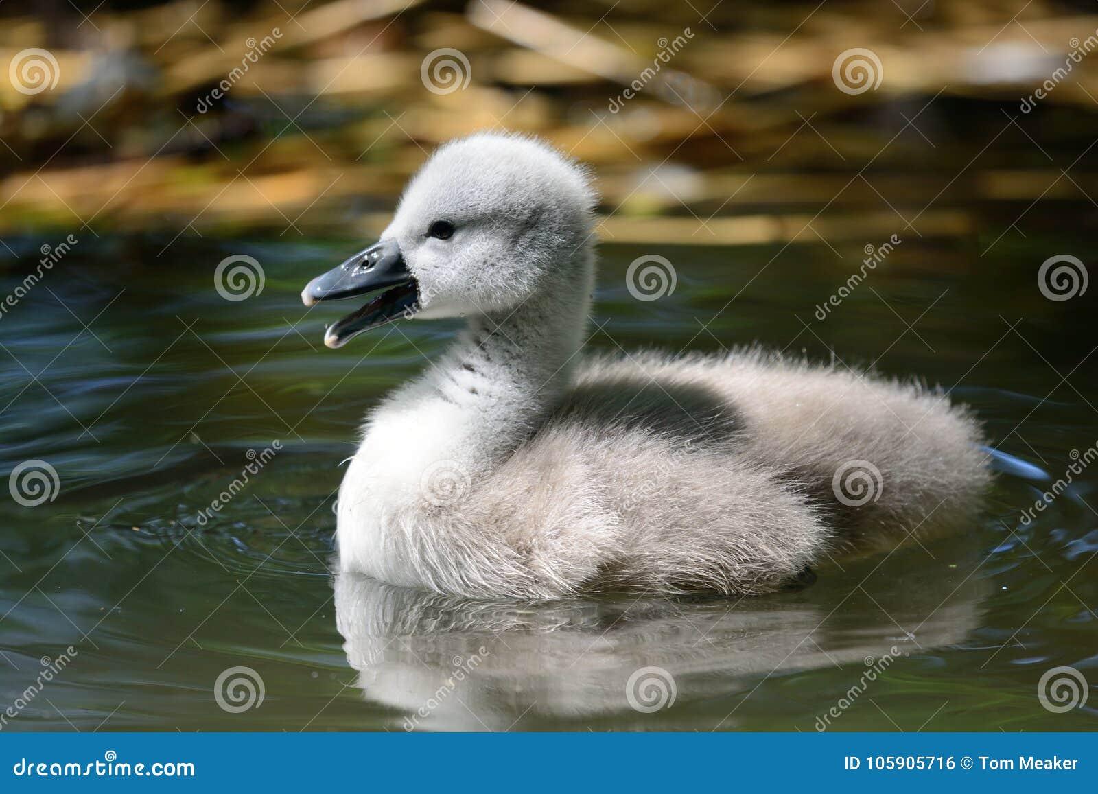 Natação do cisne novo na água
