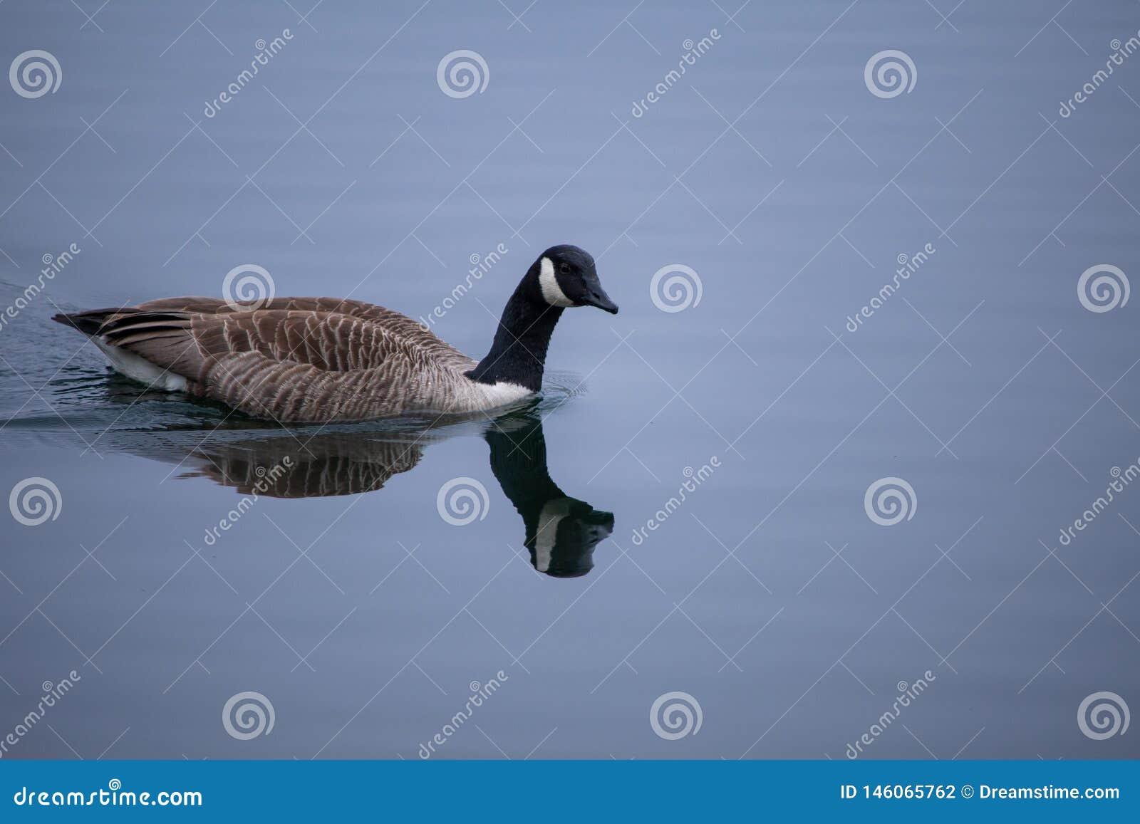 Natação do ganso de Canadá na água