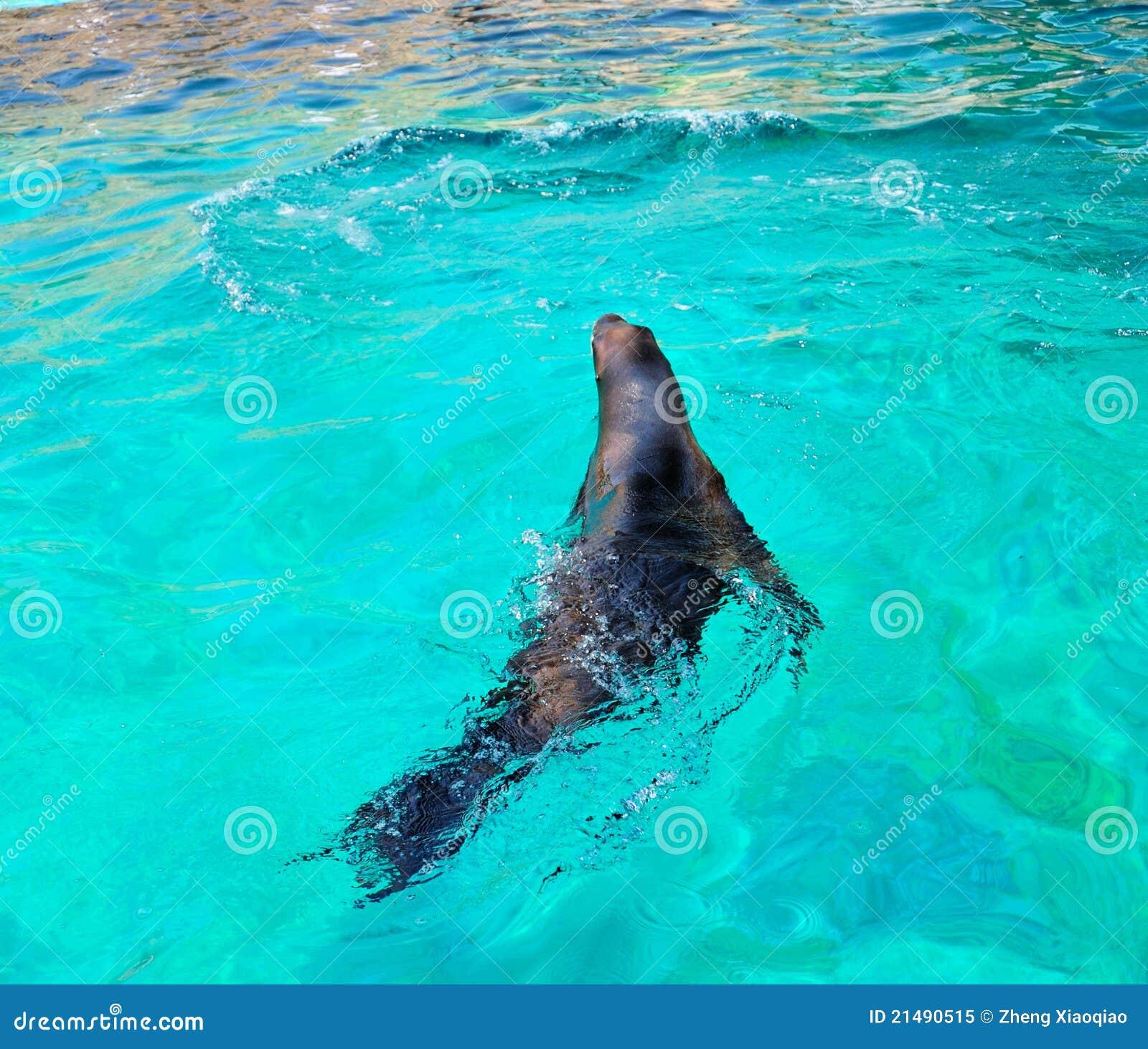 Natação do leão de mar