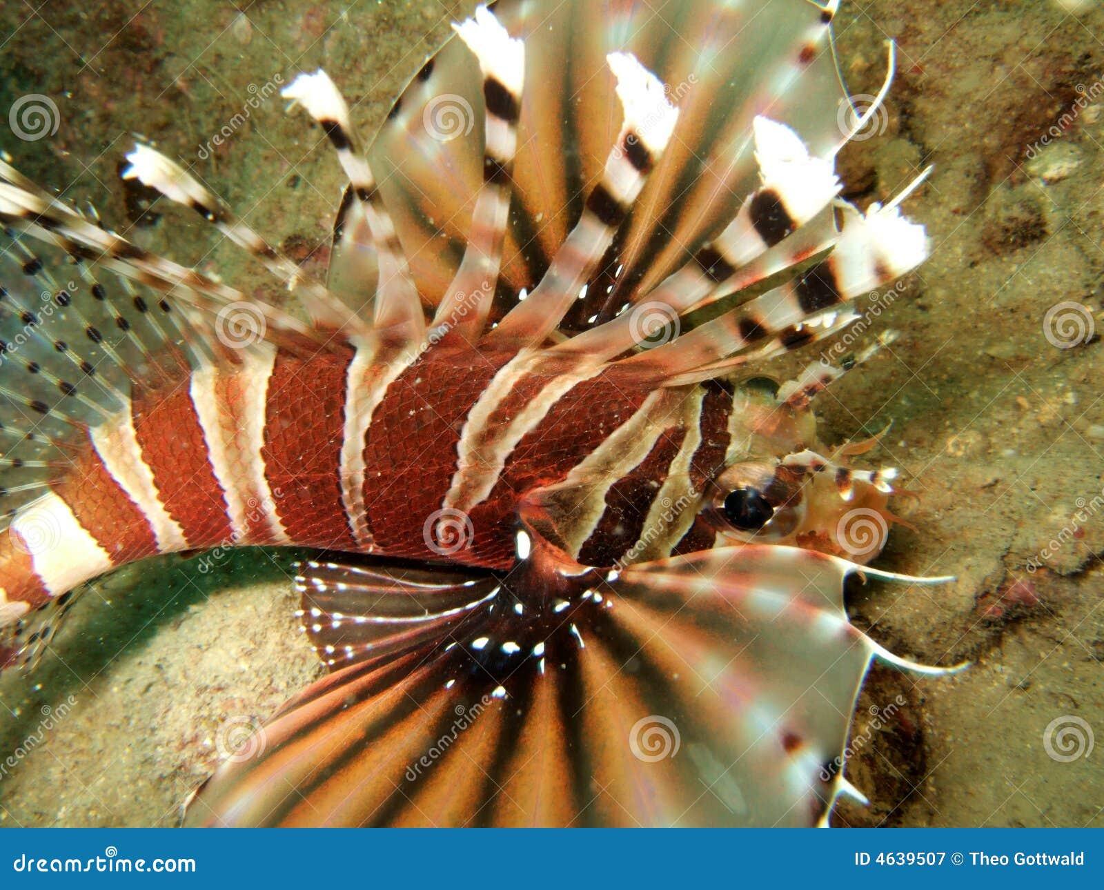Natação do Lionfish no mar