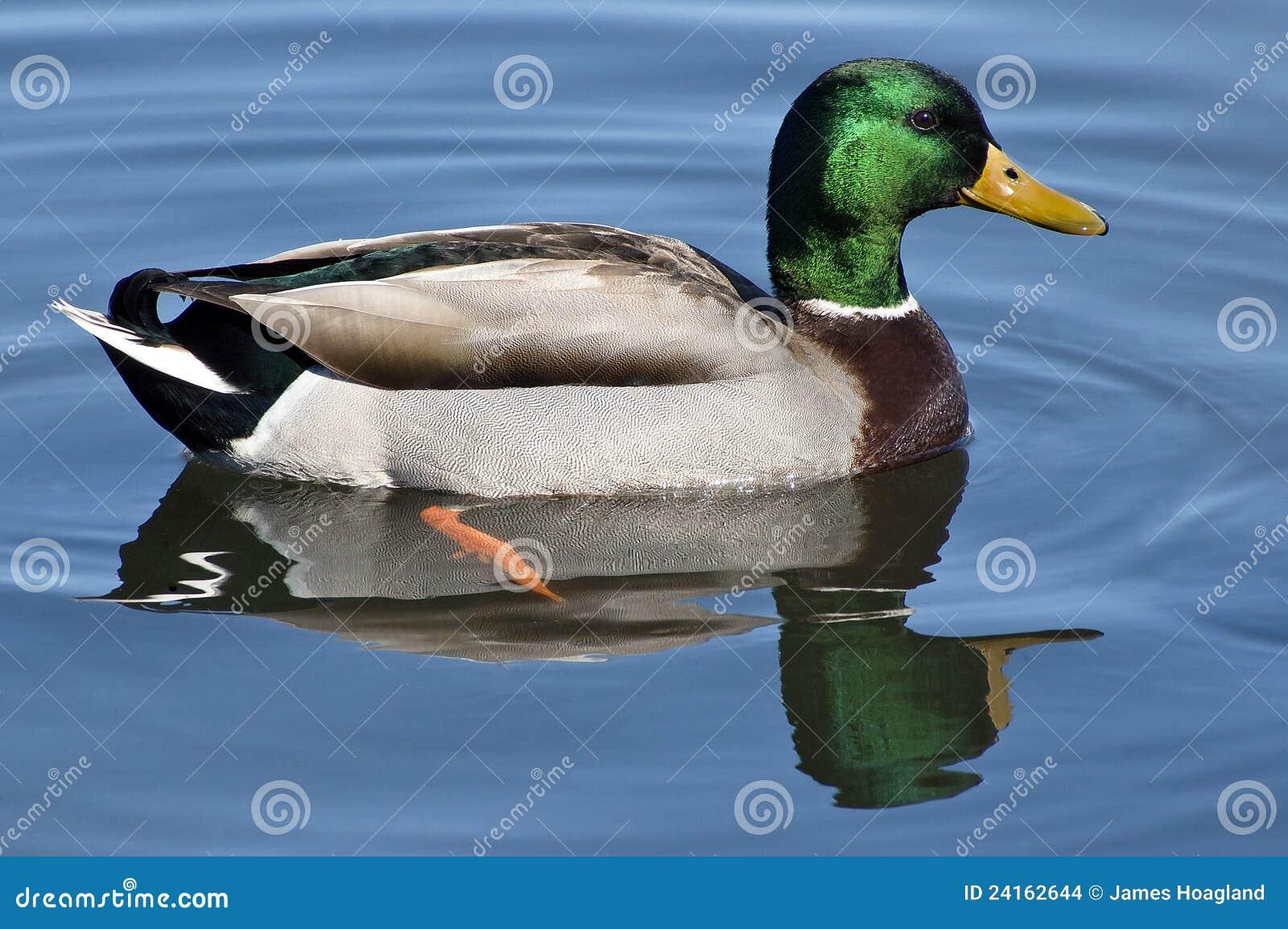 Natação do pato