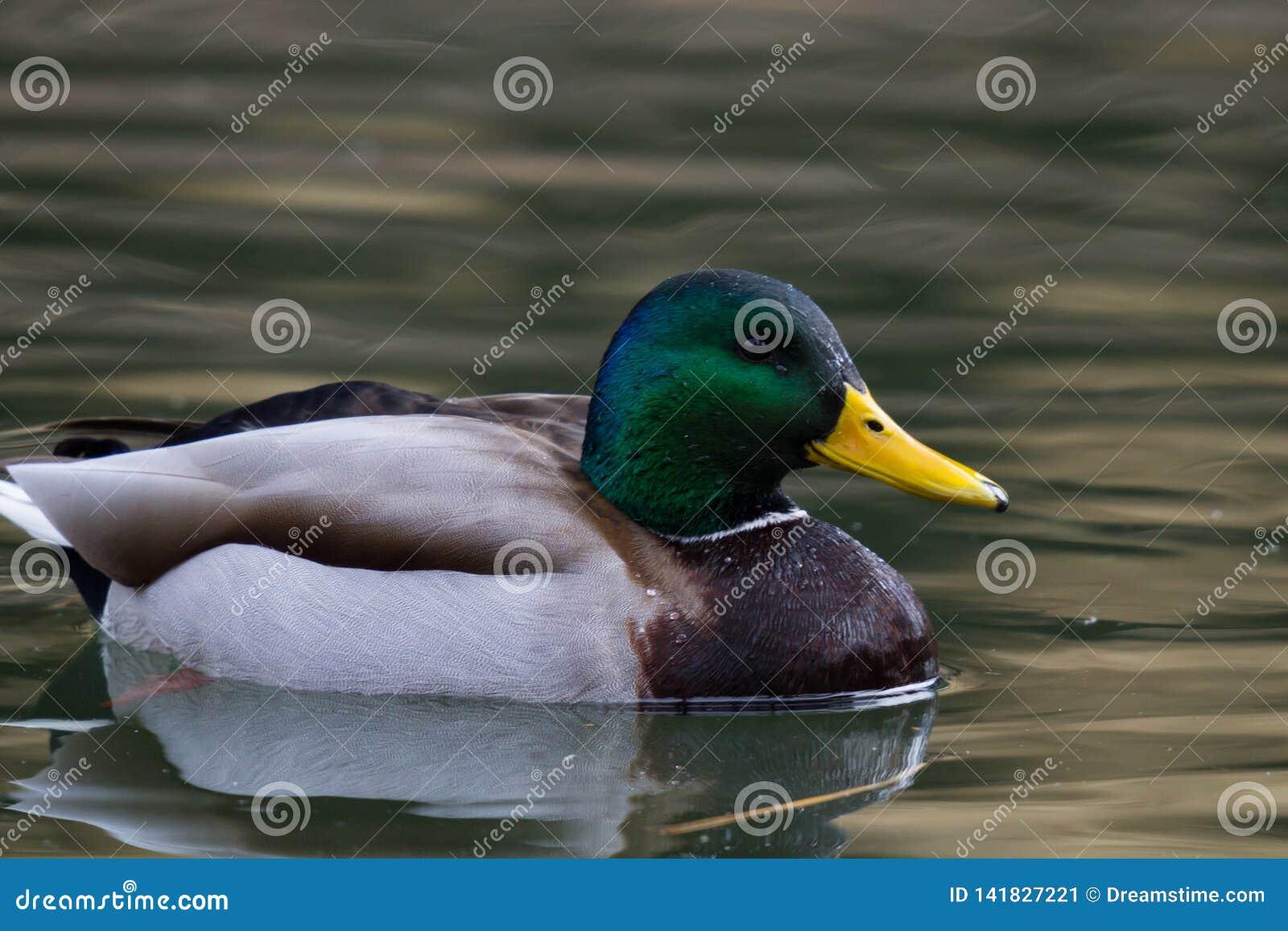 Natação do pato selvagem na lagoa local
