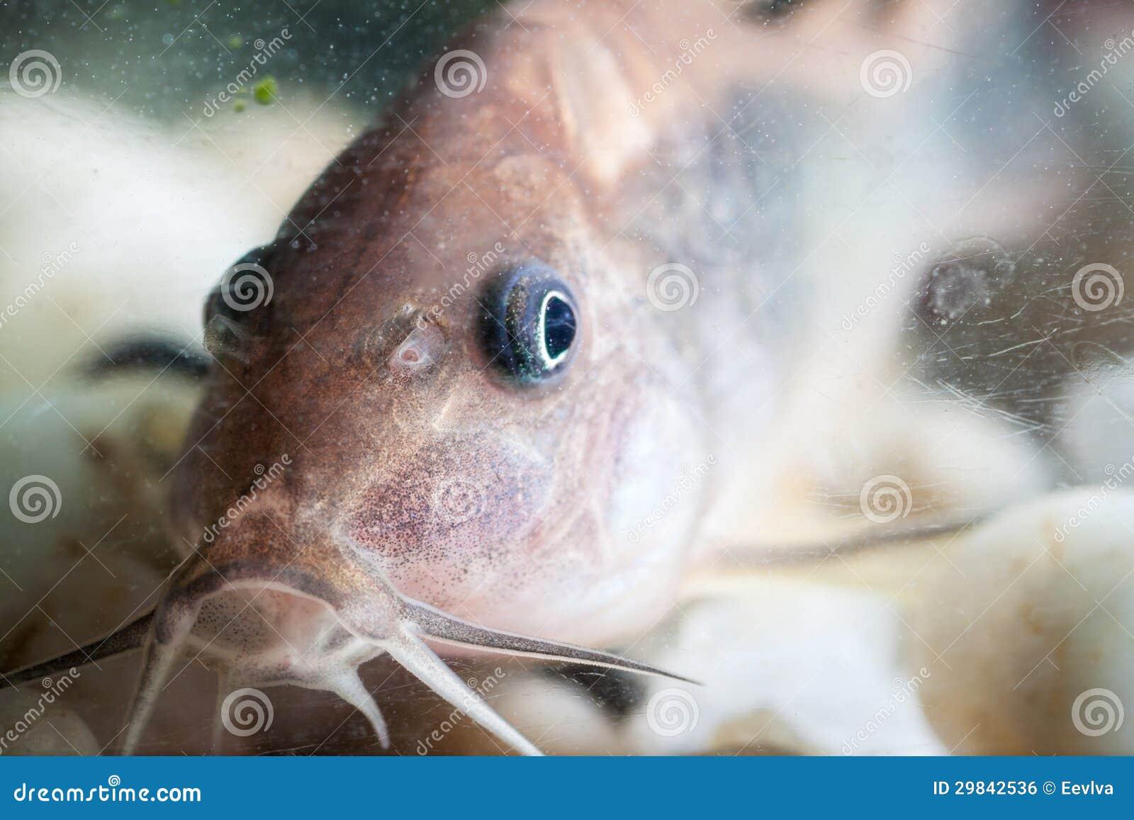 Peixe-gato de Corydoras.