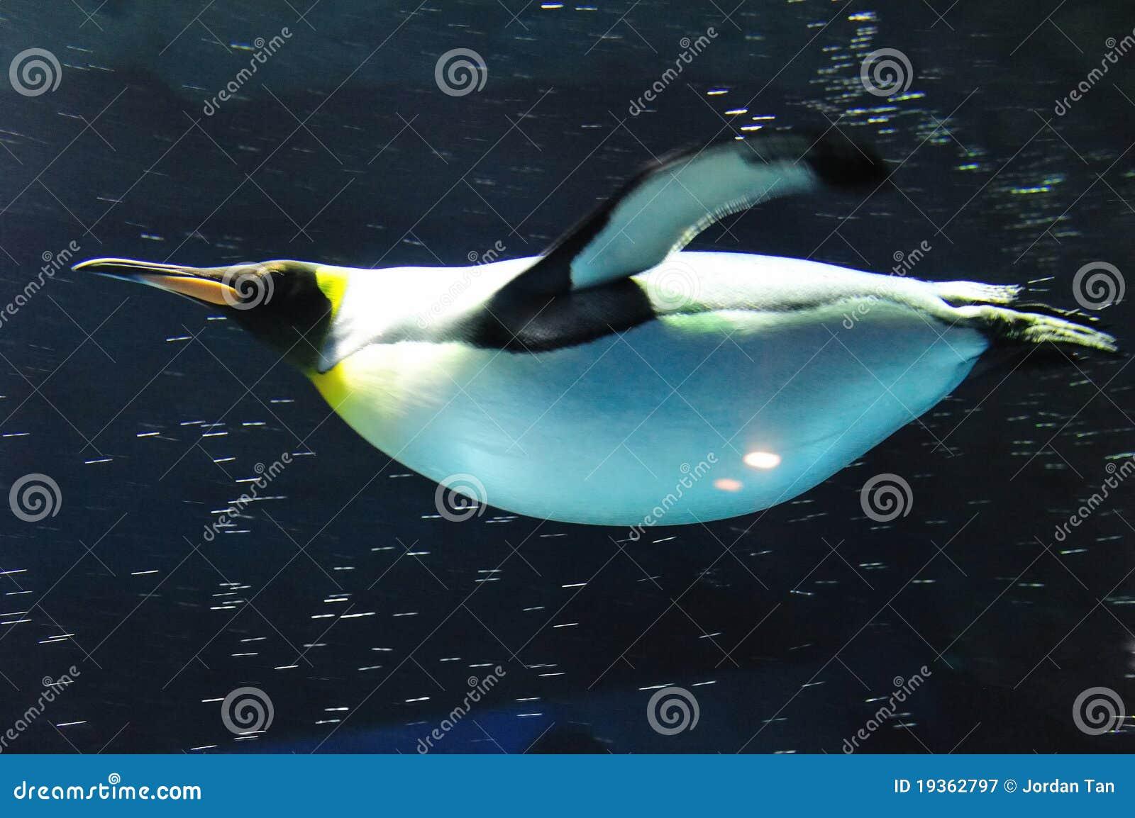 Natação do rei pinguim