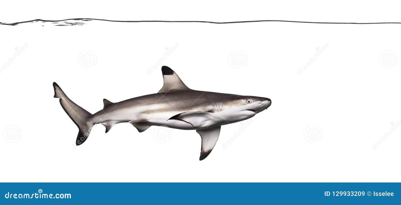 Natação do tubarão do recife de Blacktip sob a linha de água