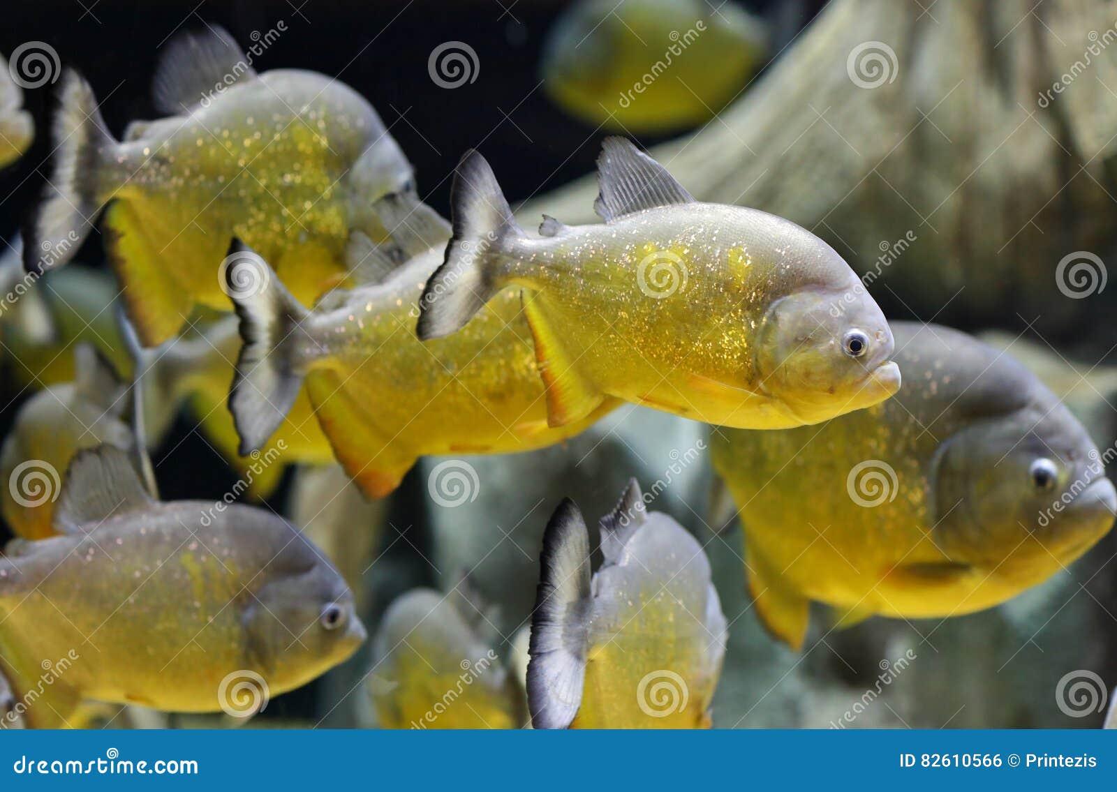 Natação dos peixes da piranha do ouro