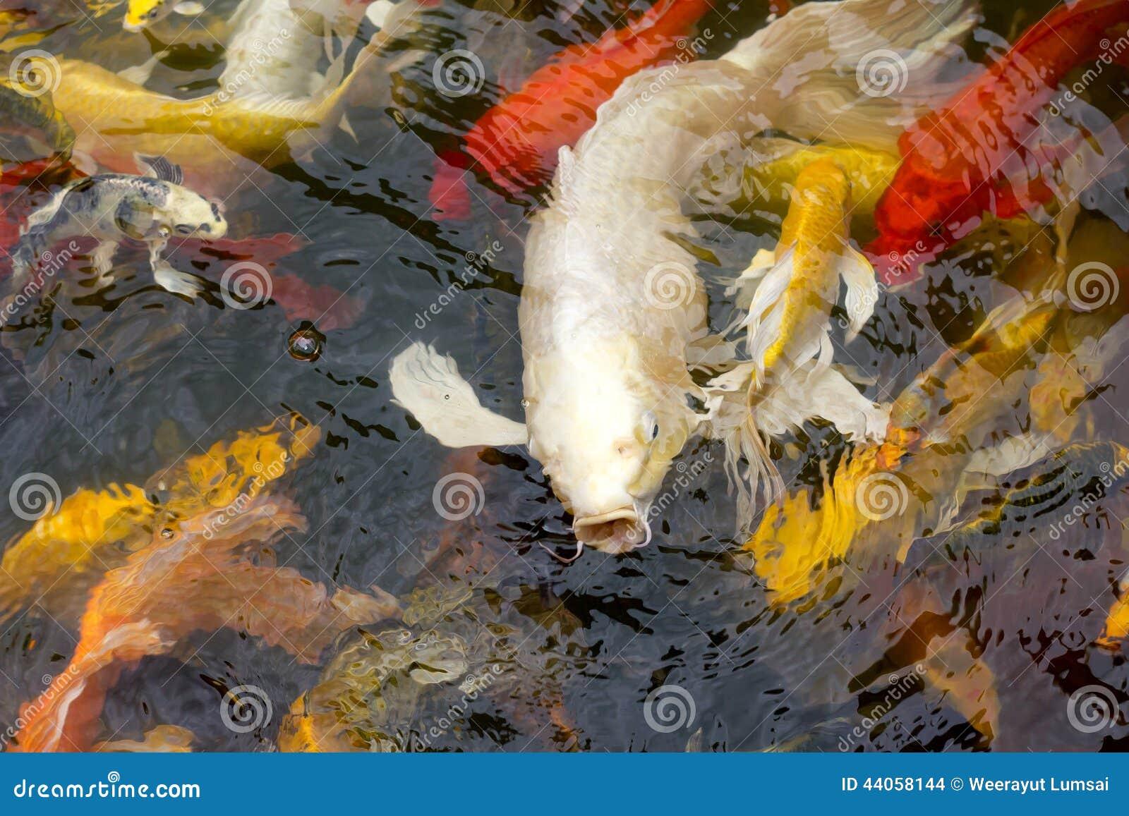 Natação dos peixes de Koi