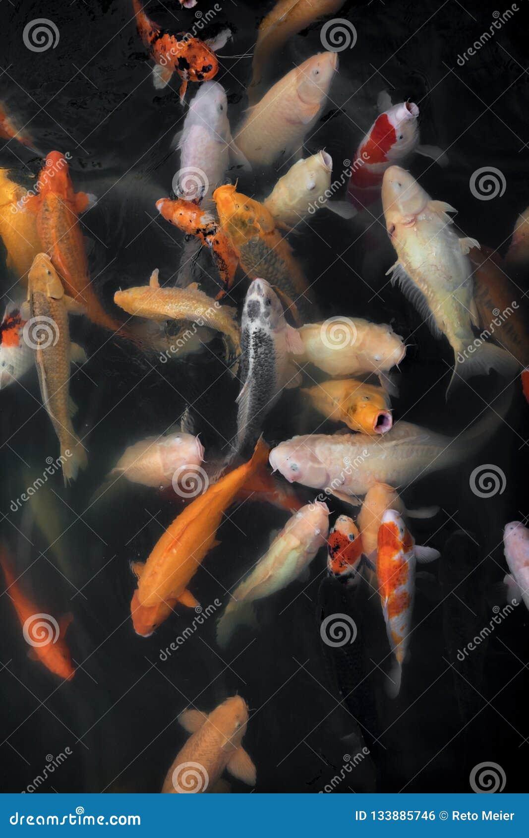 Natação dos peixes de Koi em uma associação