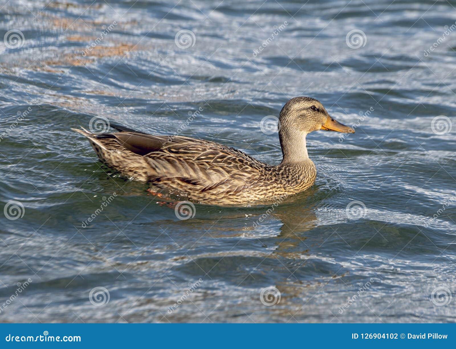 Natação fêmea do pato do pato selvagem no parque de Greenlake, Seattle, Washington