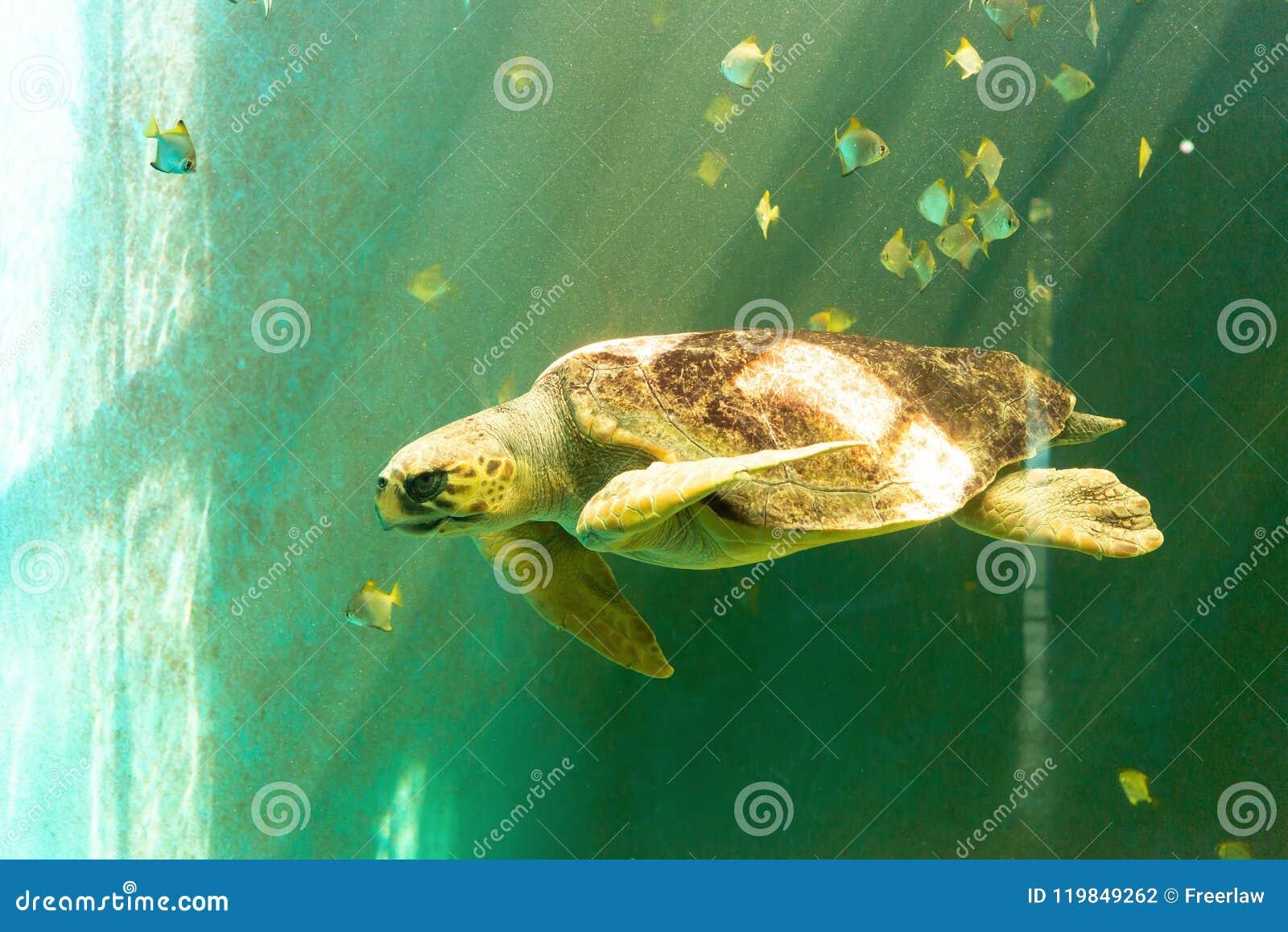 Natação grande da tartaruga de mar