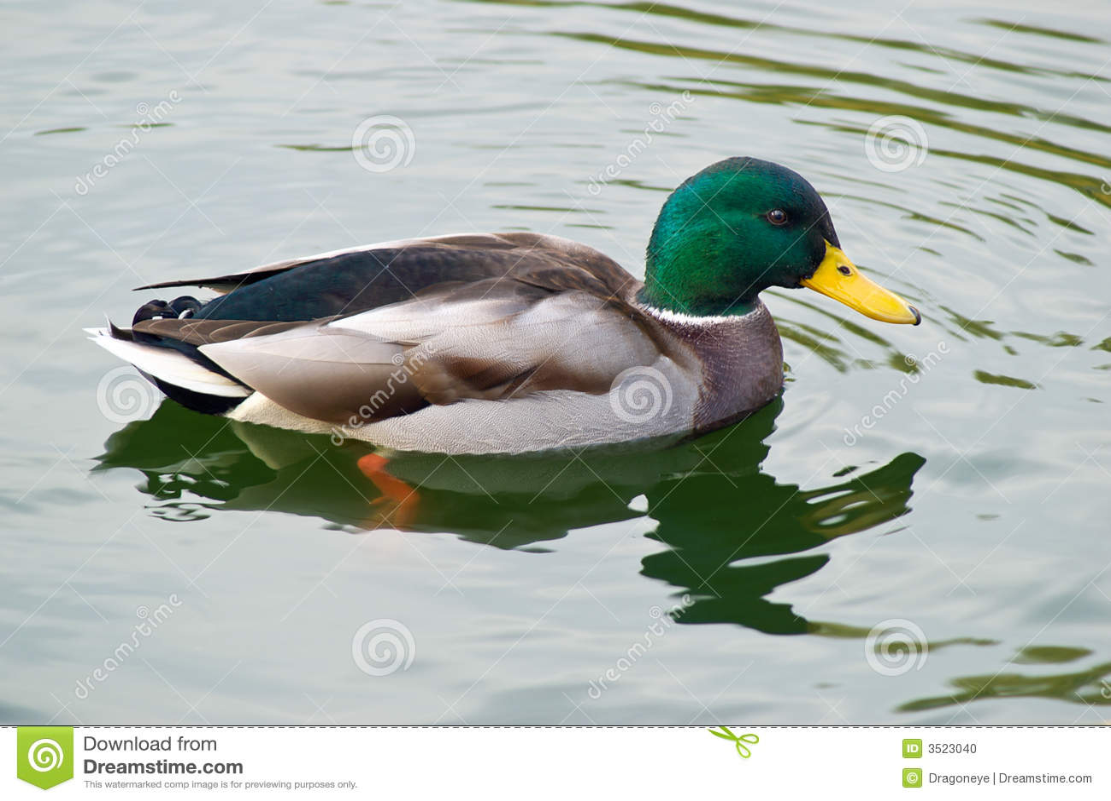 Natação masculina do pato do pato selvagem dentro