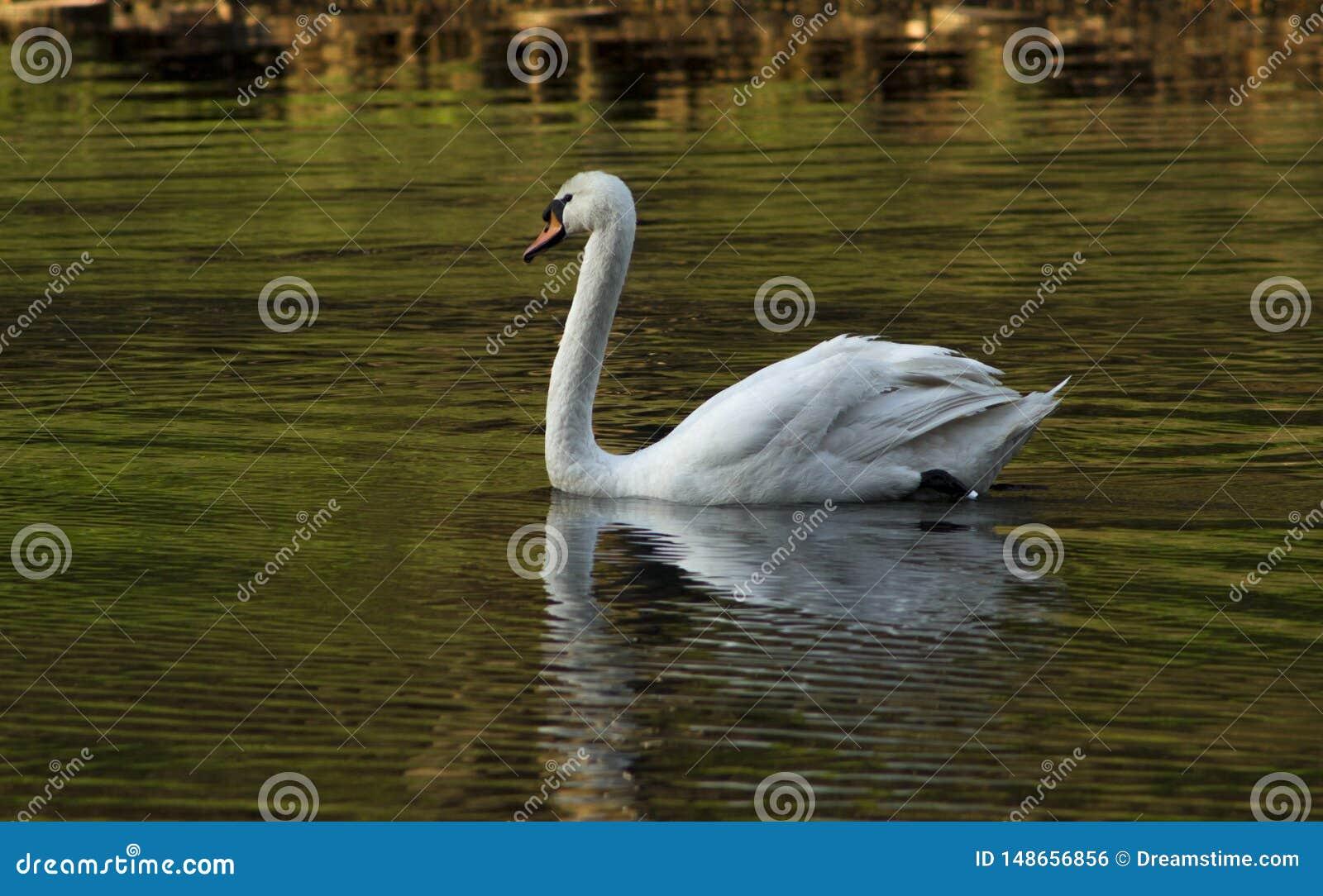 Nata??o branca da cisne na lagoa