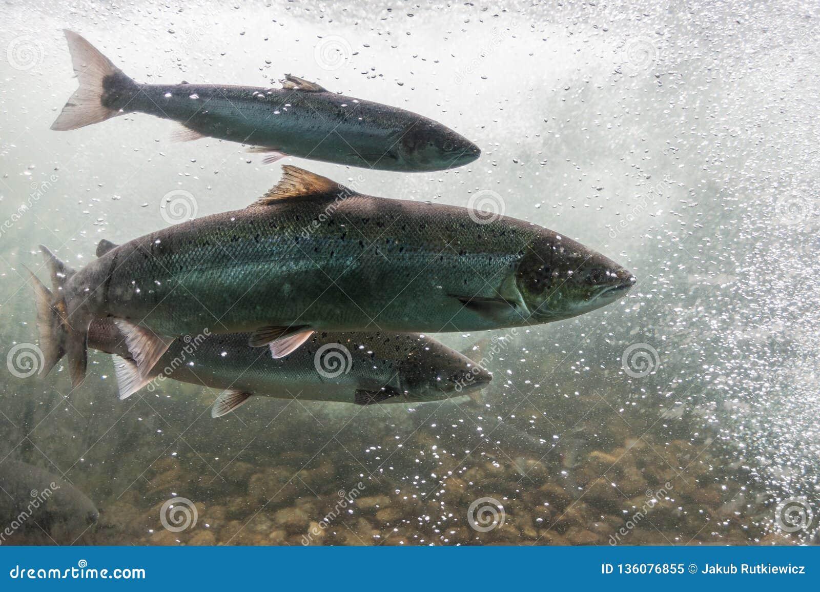 Natación de color salmón contra corriente del río Región de Noruega, Stavanger, Rogaland, ruta escénica de Ryfylke