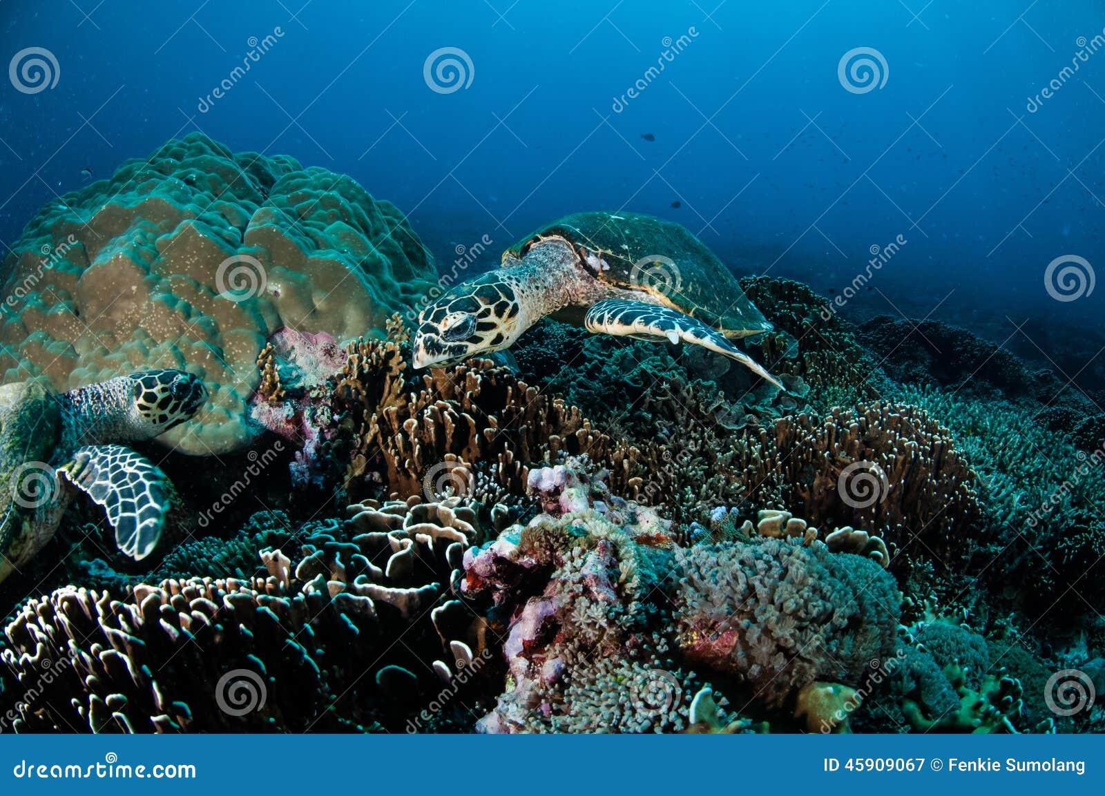 Natación de la tortuga de Hawksbill alrededor de los arrecifes de coral en Gili, Lombok, Nusa Tenggara Barat, foto subacuática de