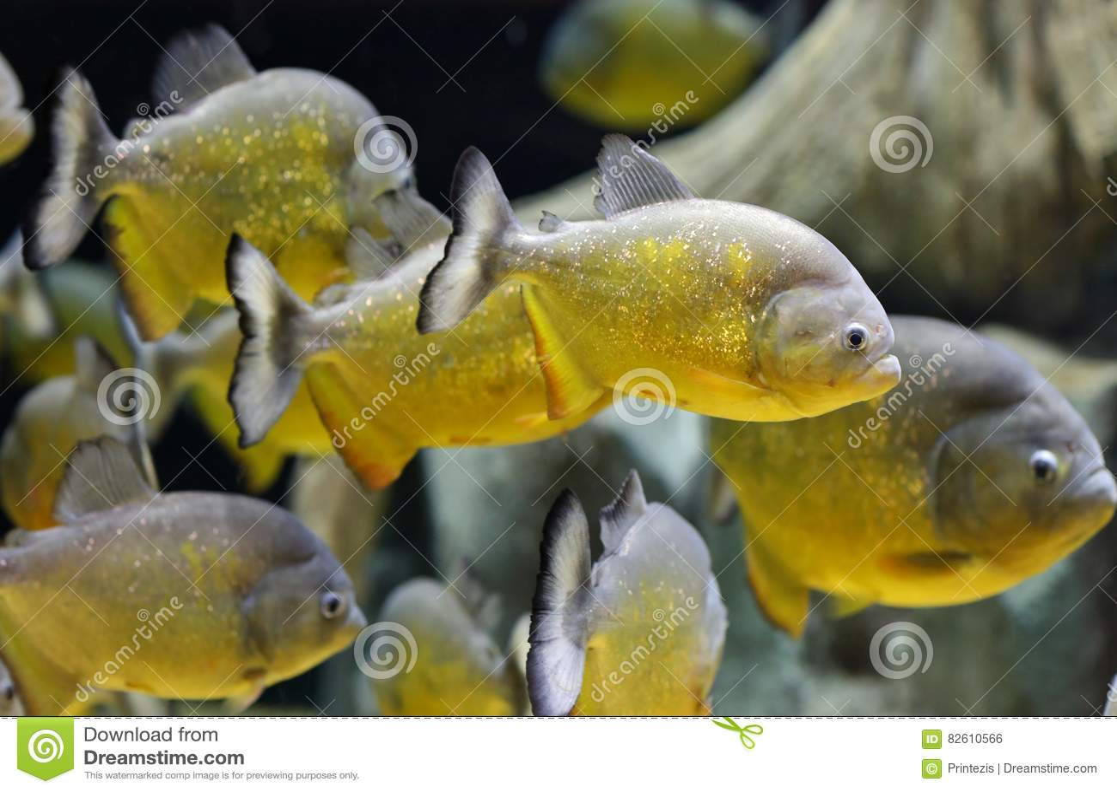 Natación de los pescados de la piraña del oro