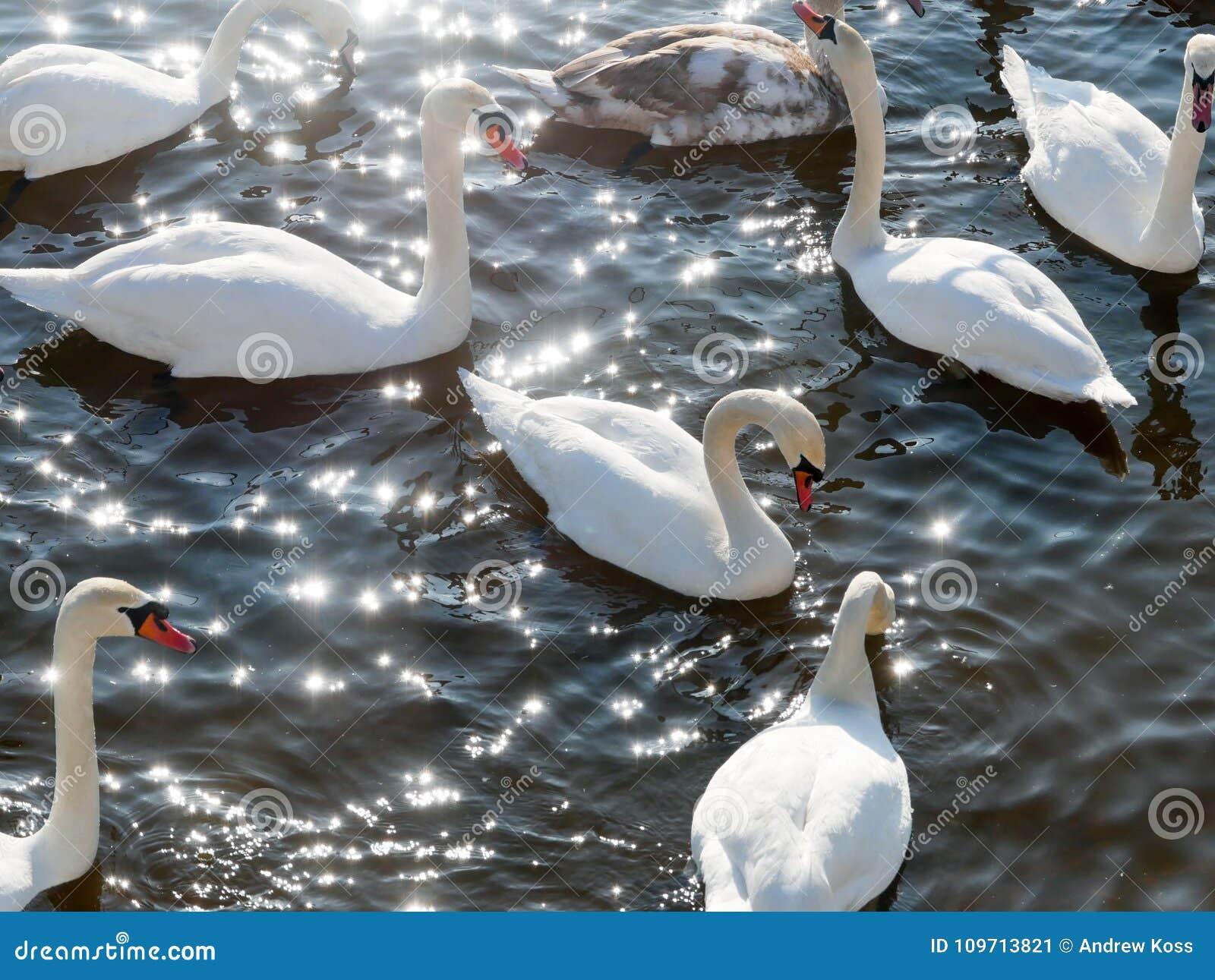Natación del cisne en el río