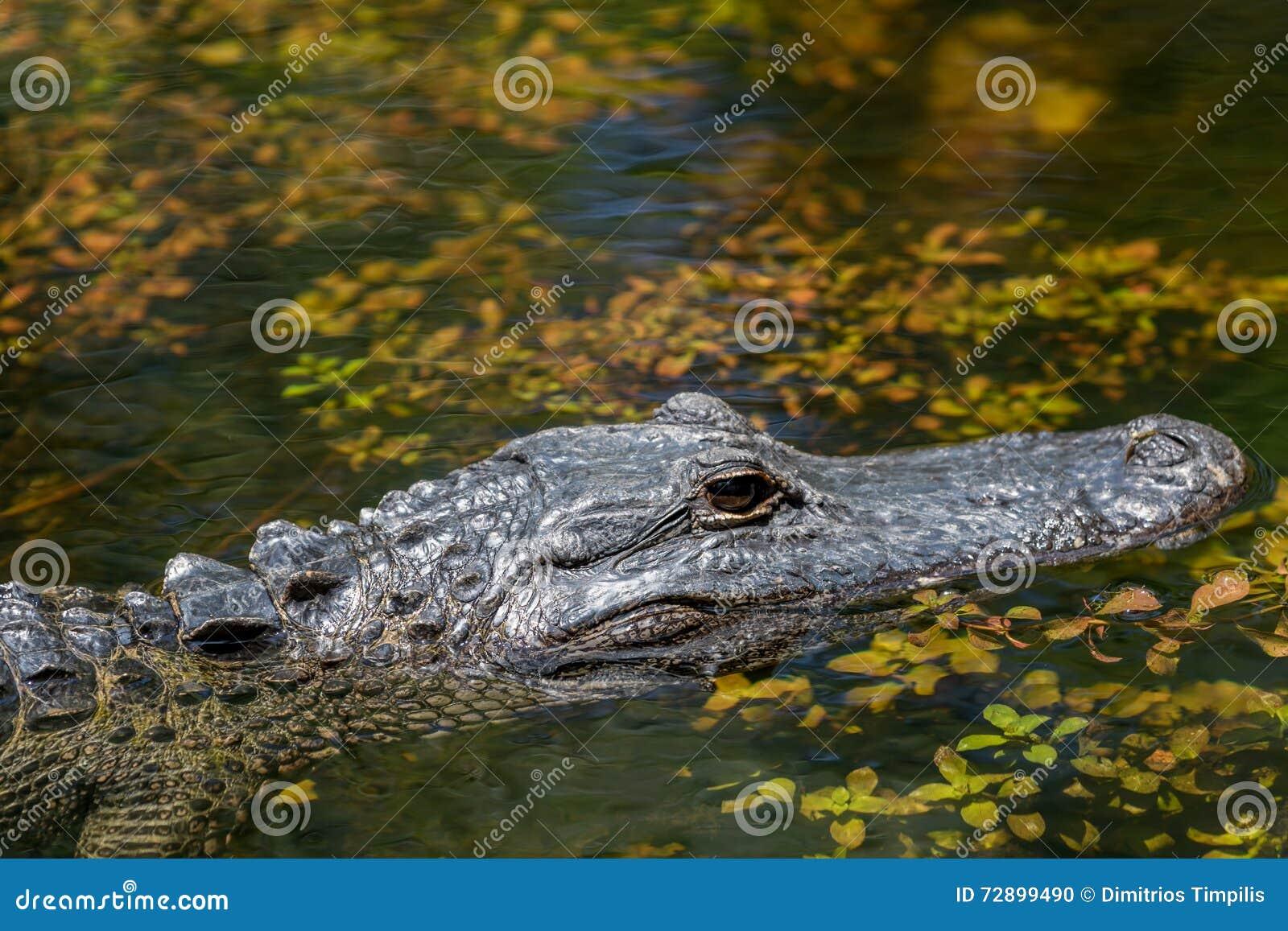 Natación del cocodrilo, coto nacional grande de Cypress, la Florida