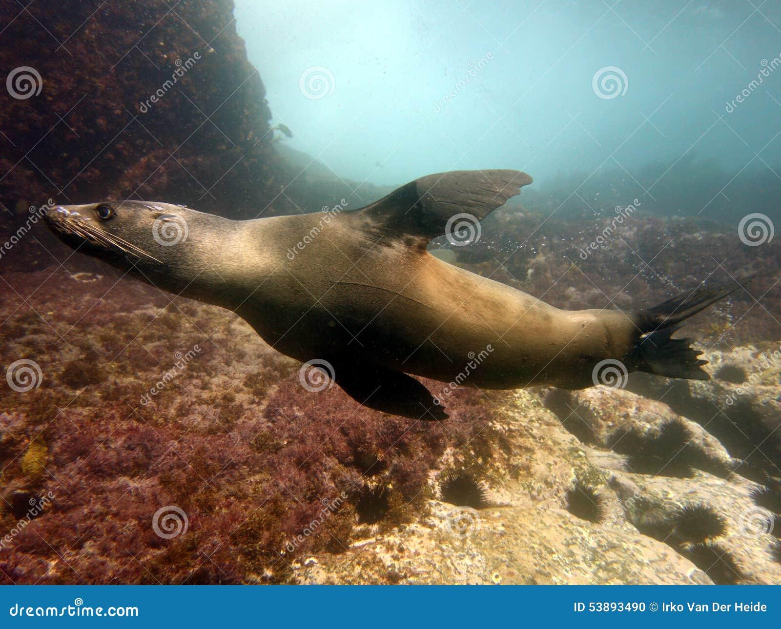 Natación del lobo marino