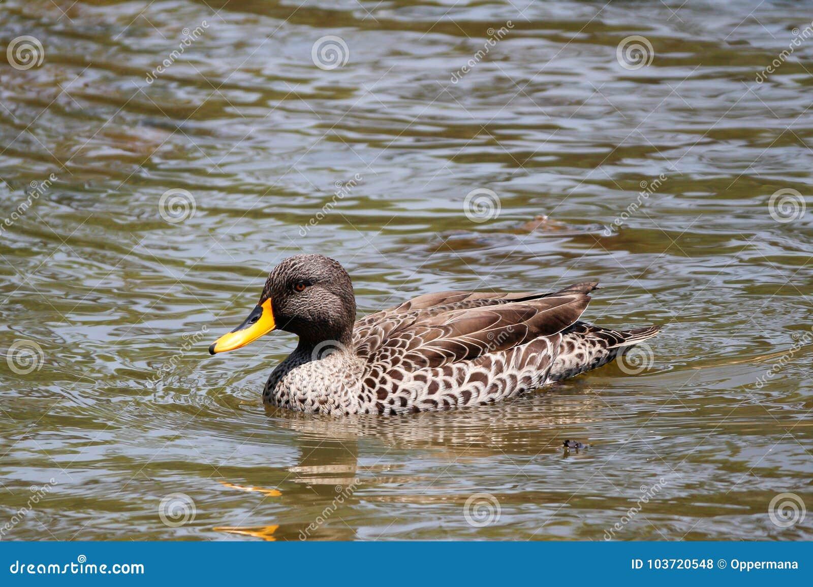 Natación del pato en la charca