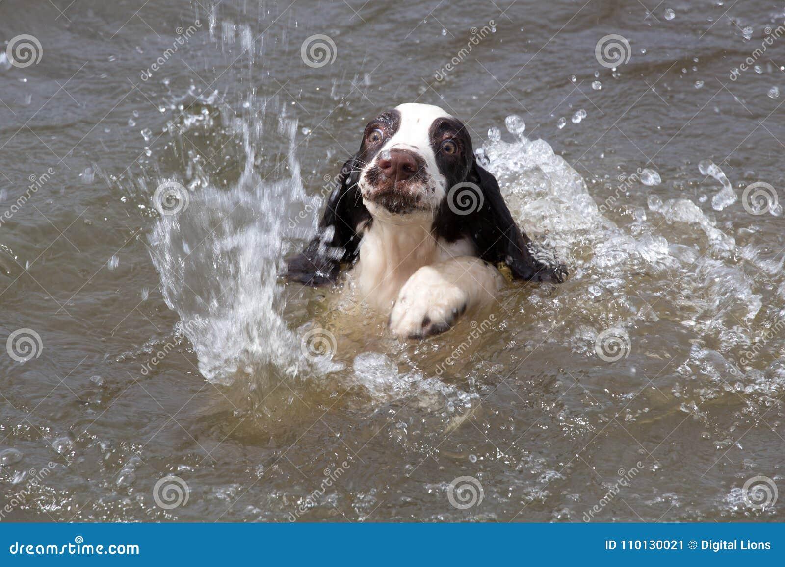 Natación del perrito en agua