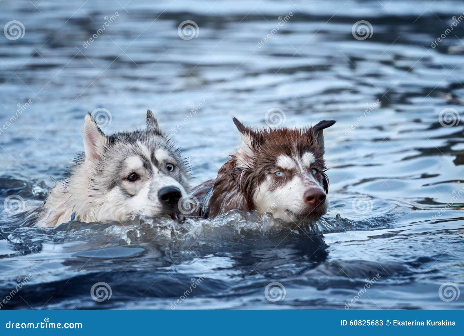 Natación del perro de dos perros esquimales