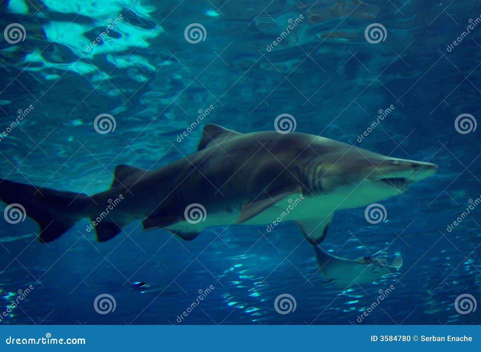Natación del tiburón