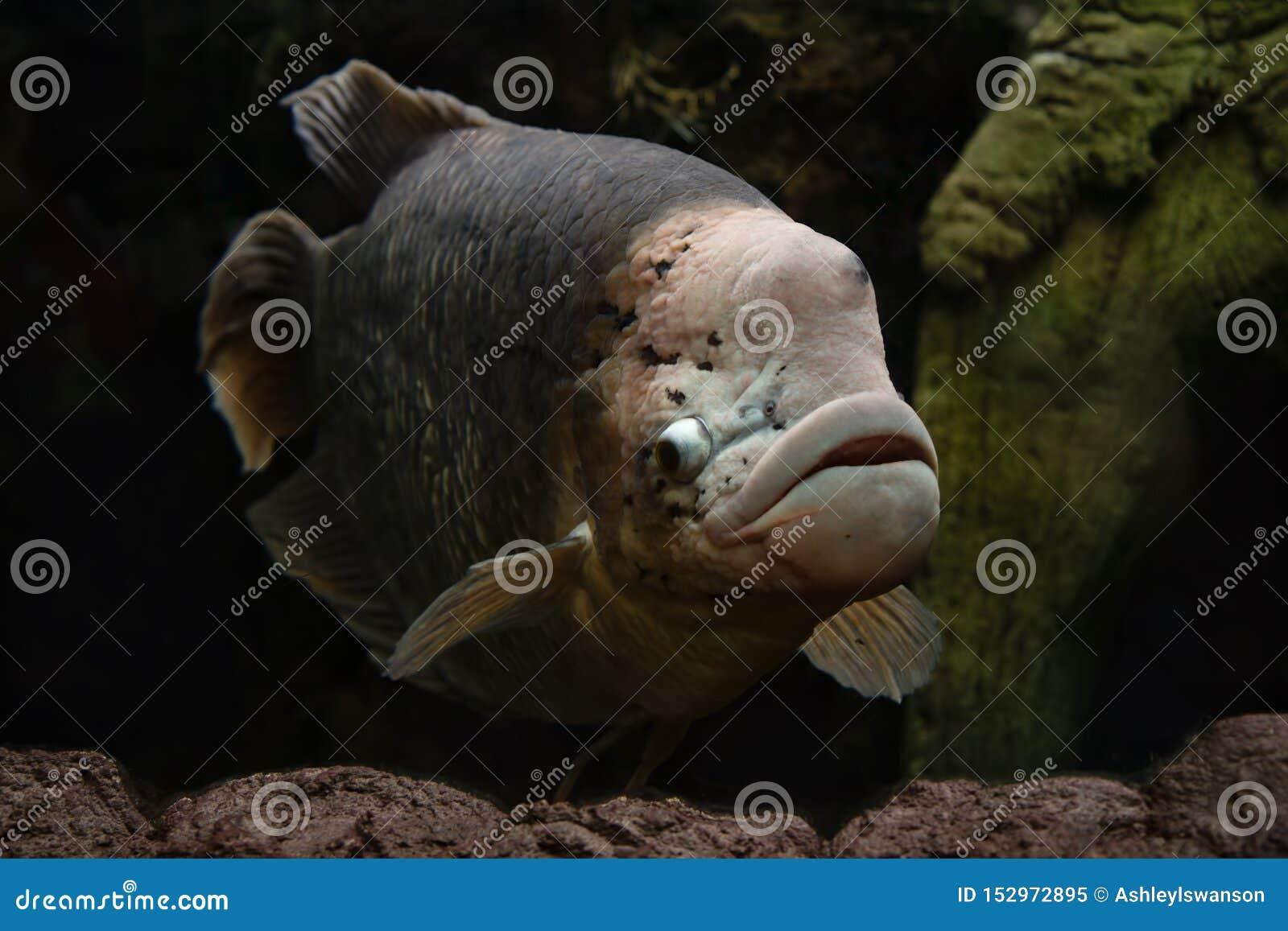 Natación gigante de los pescados del Osphromemus gorami