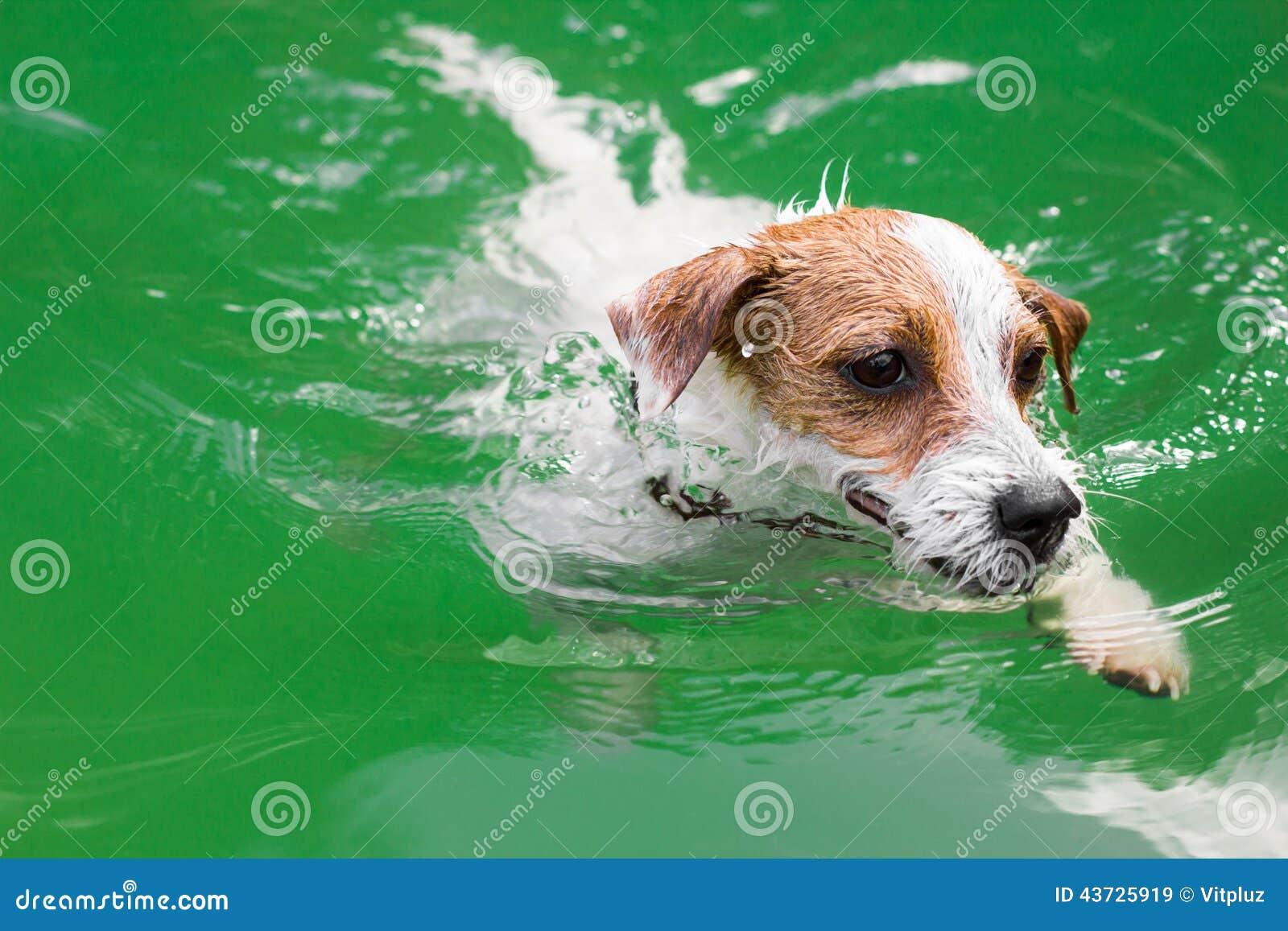 Natación linda del perro