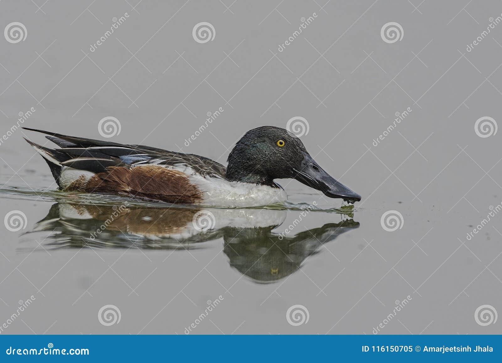 Natación masculina del clypeata de las anecdotarios del pato cuchara septentrional en un lago