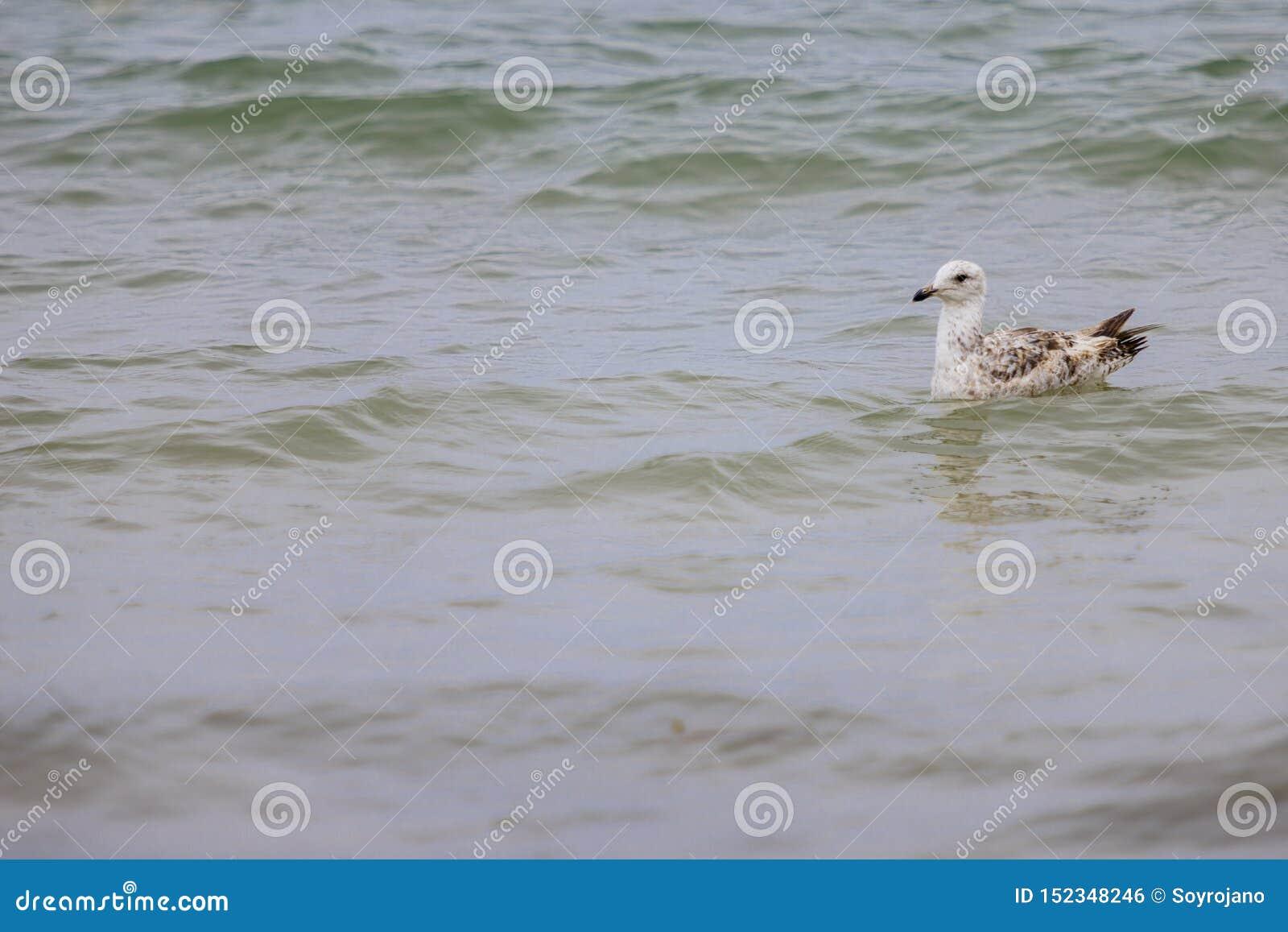 Nataci?n de la gaviota en el mar