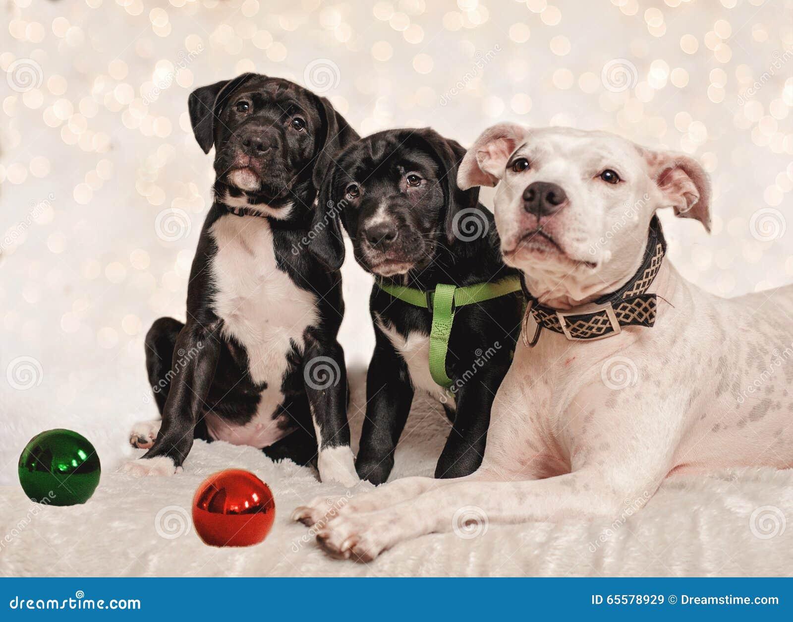 Natal do cão