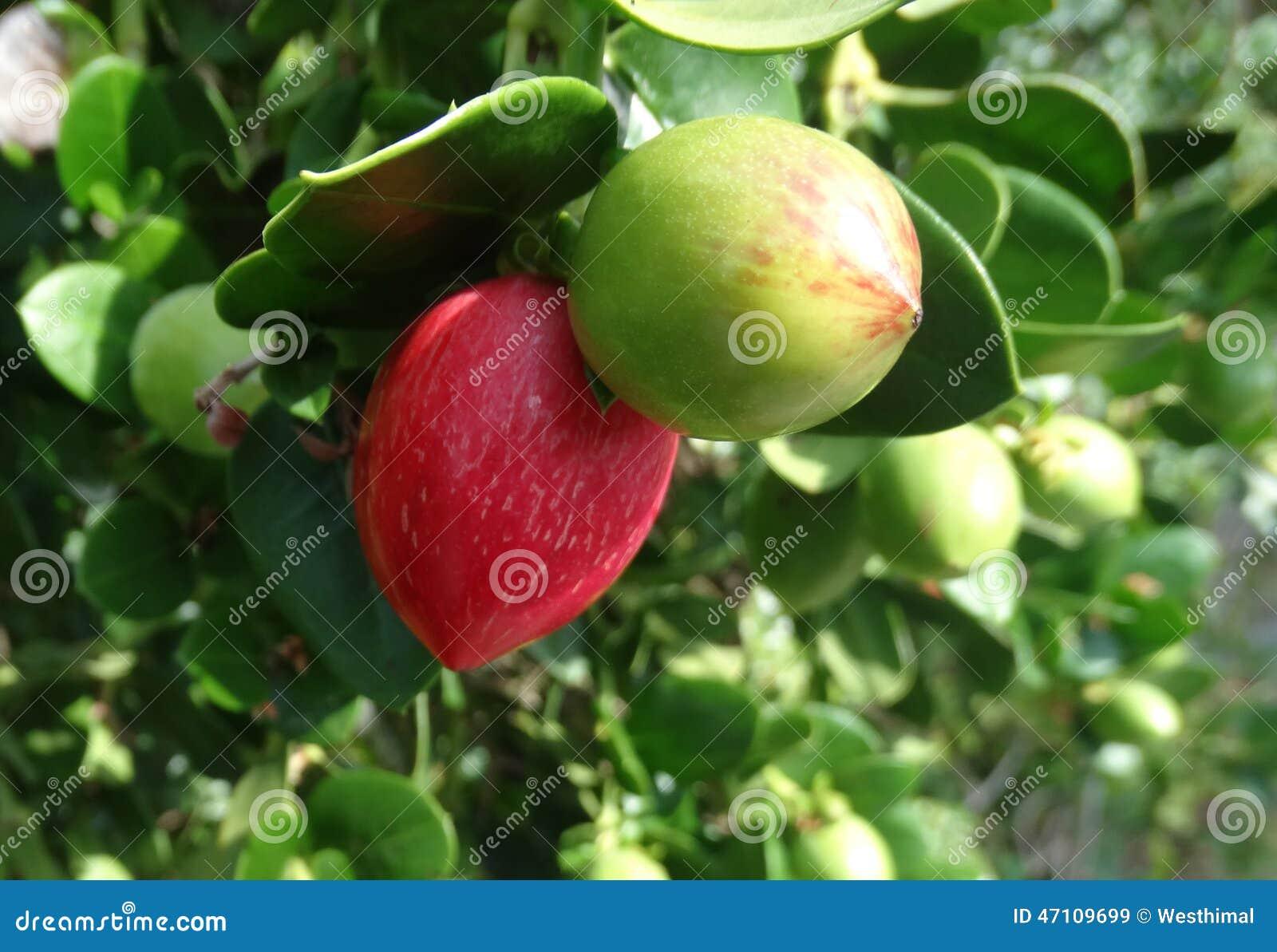 Natal plum, Large Num Num, Carissa macrocarpa
