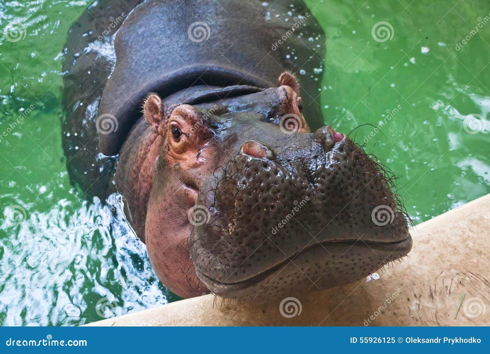 Natation adulte d 39 hippopotame dans une piscine image stock for Apprendre a plonger dans une piscine