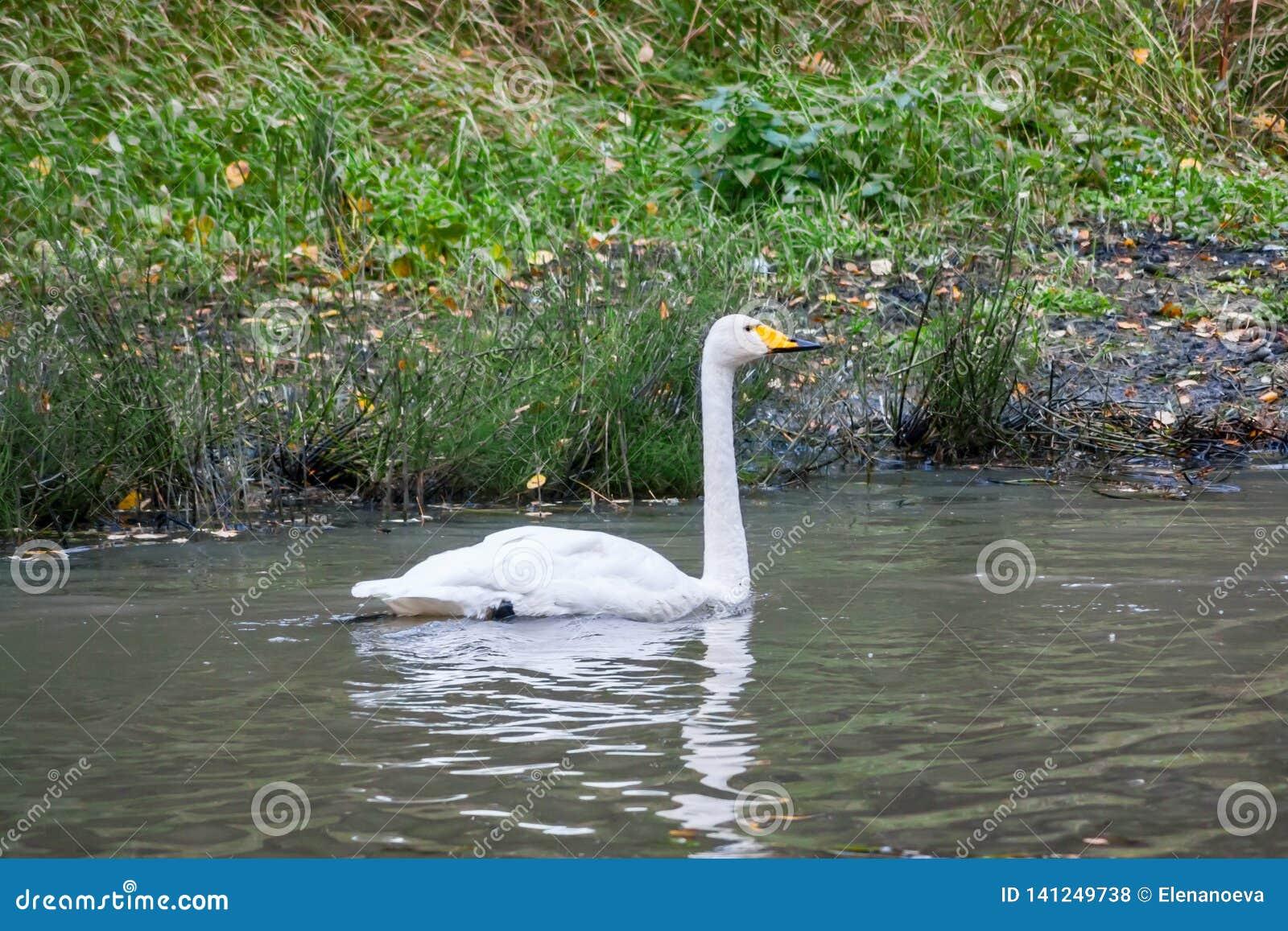 Natation blanche de cygne sur la rivière en Finlande à l été