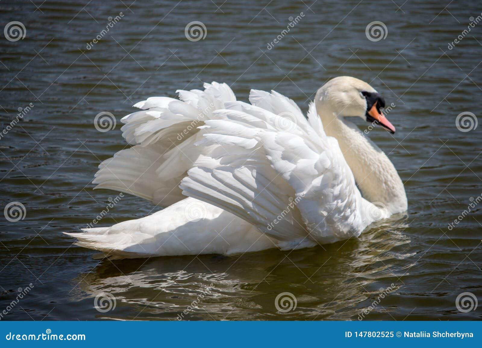 Natation blanche ?l?gante de cygne dans l ?tang Concept Romance et de paix Cygne simple avec de belles ailes et plumage blanc