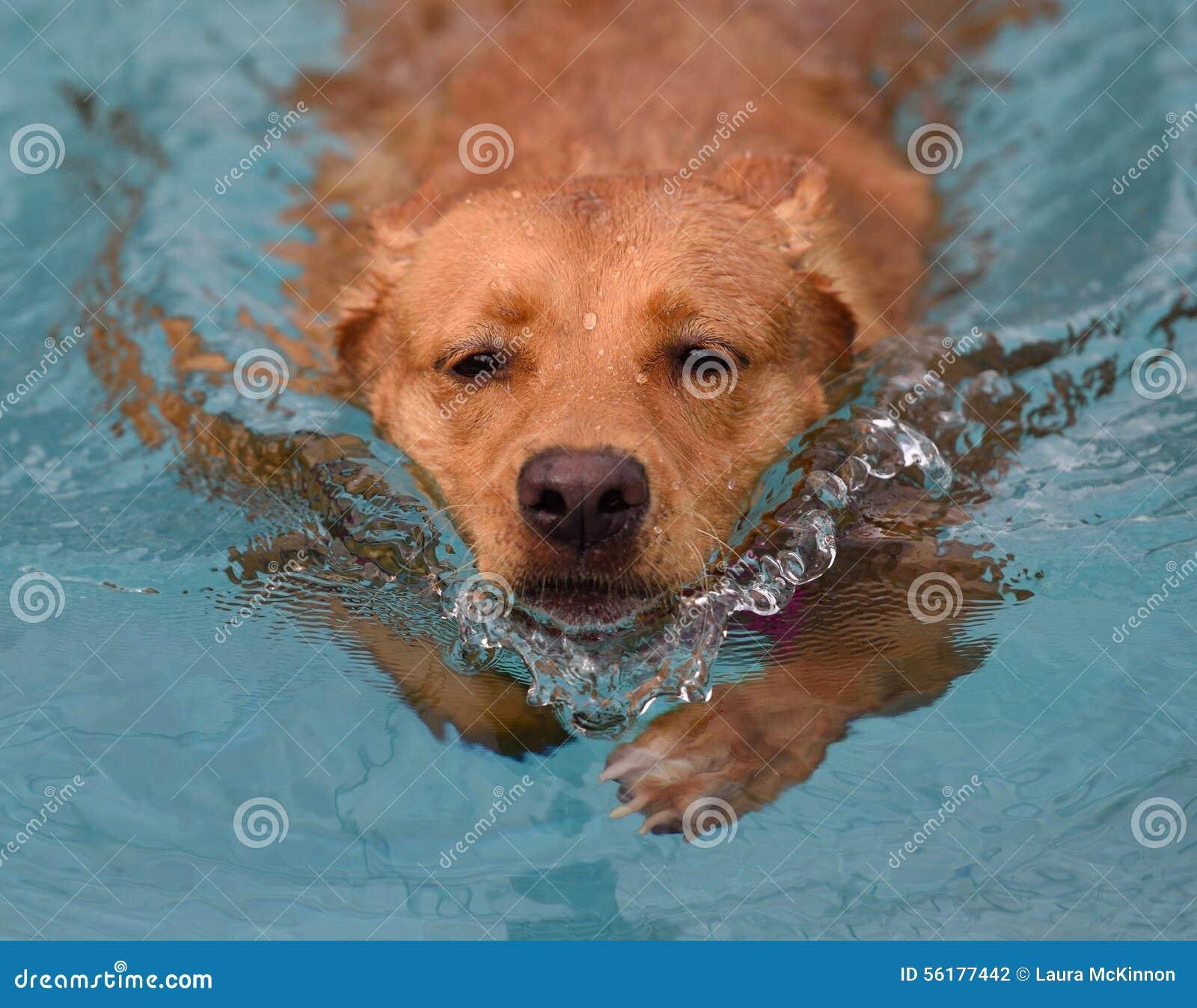 Natation déterminée de chien