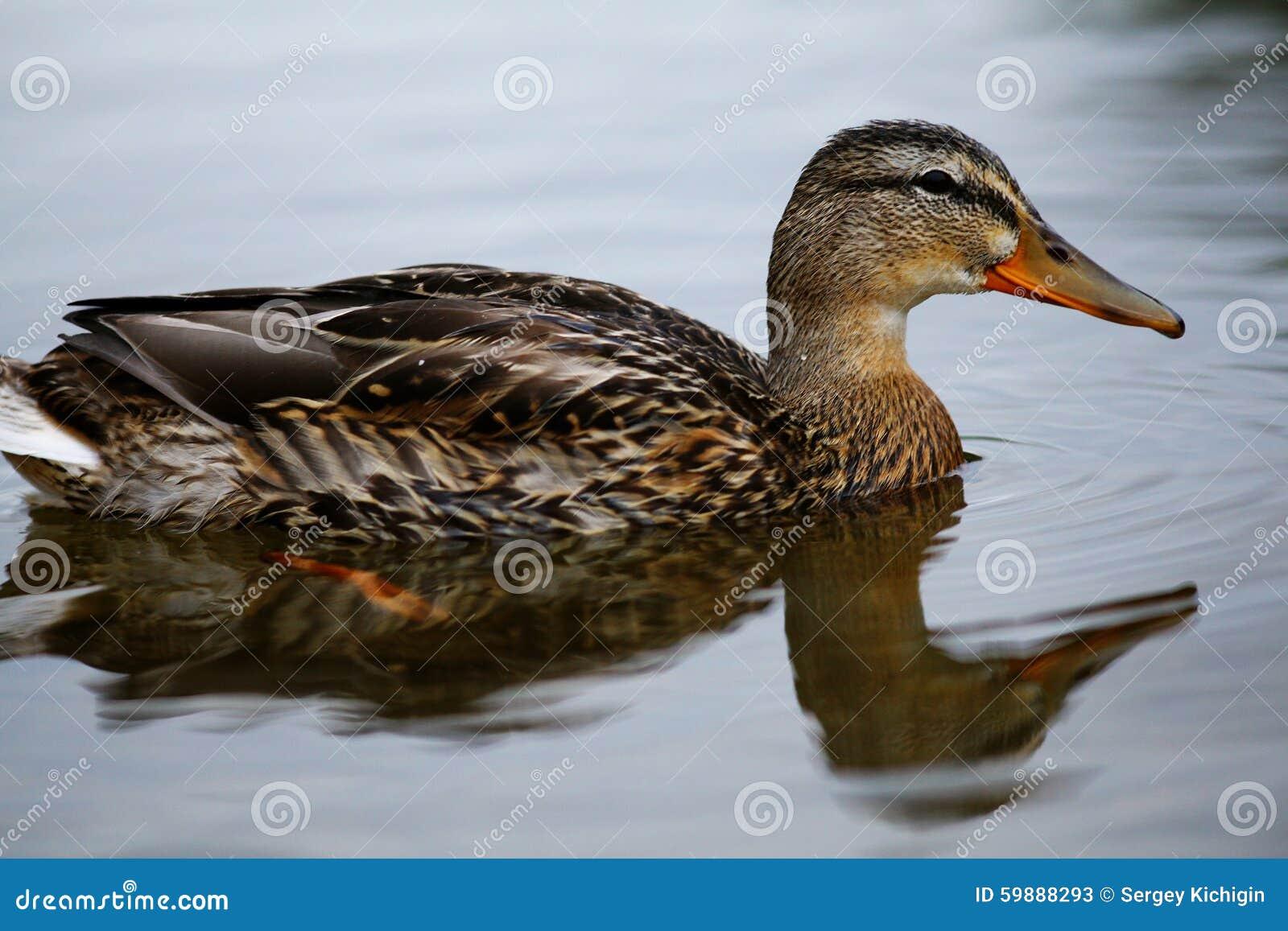 Natation de canard sauvage dans l étang