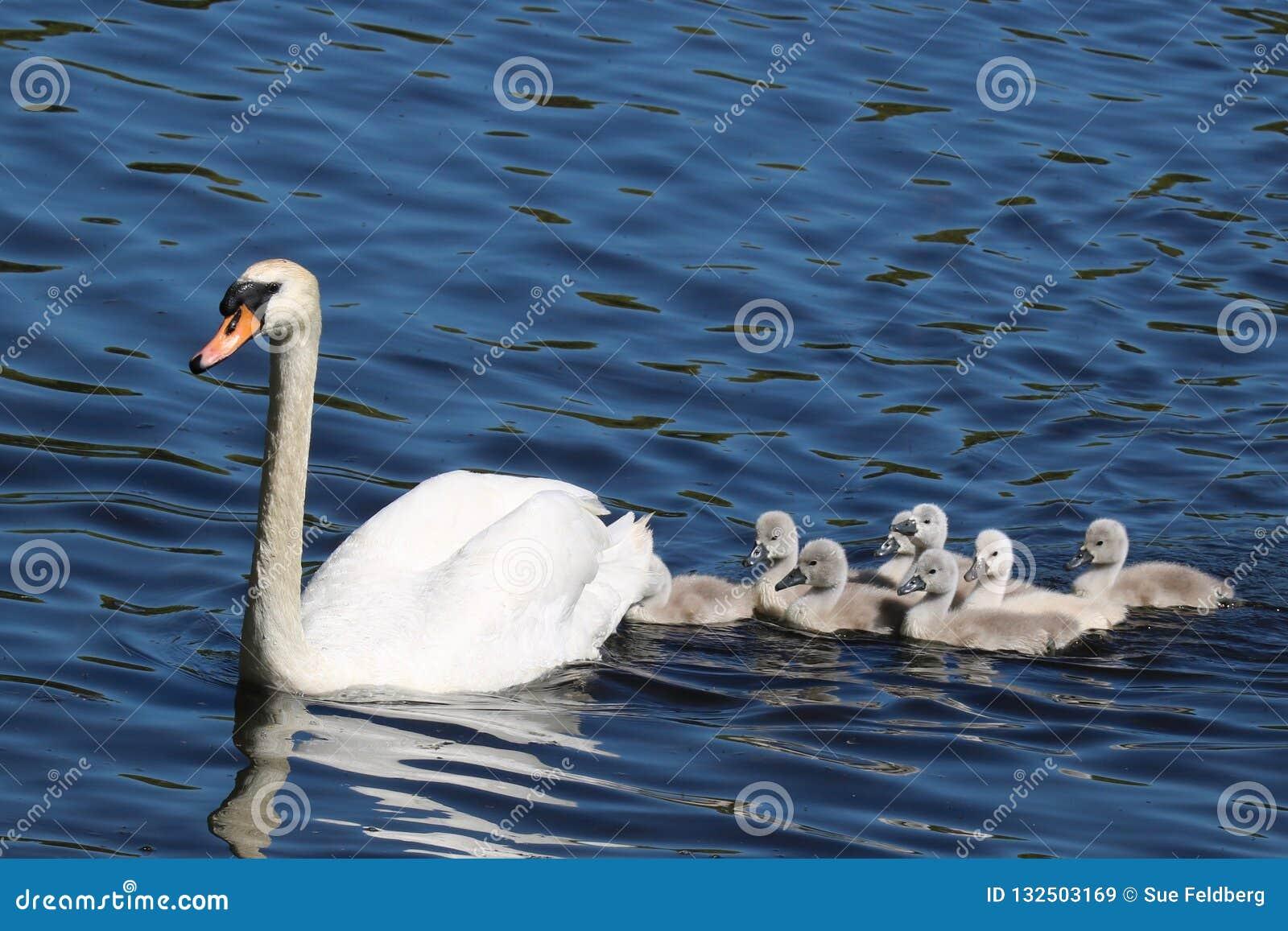 Natation de cygne avec des jeunes cygnes