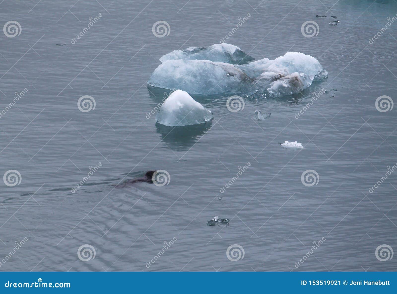 Natation de phoque à un iceberg