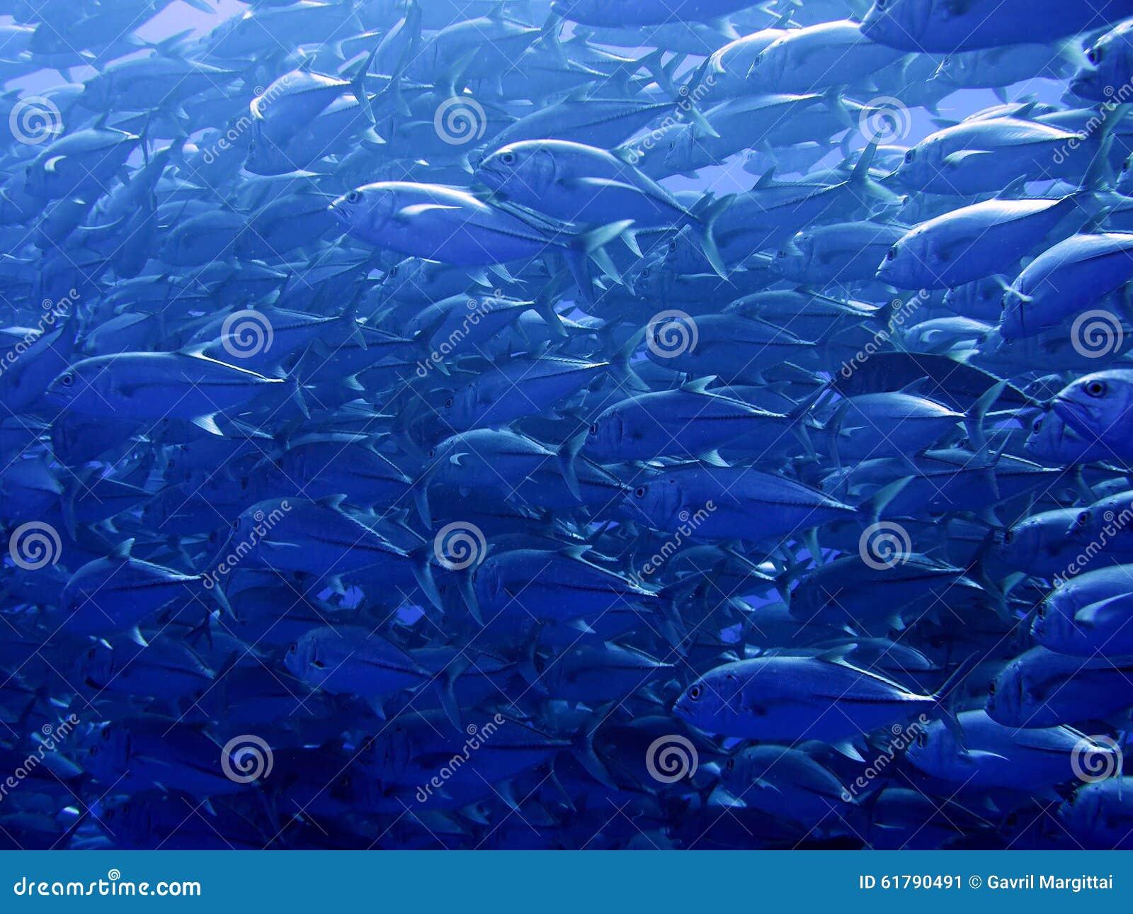 Natation de poissons étroite à la mer o Cortez Baja Mexico