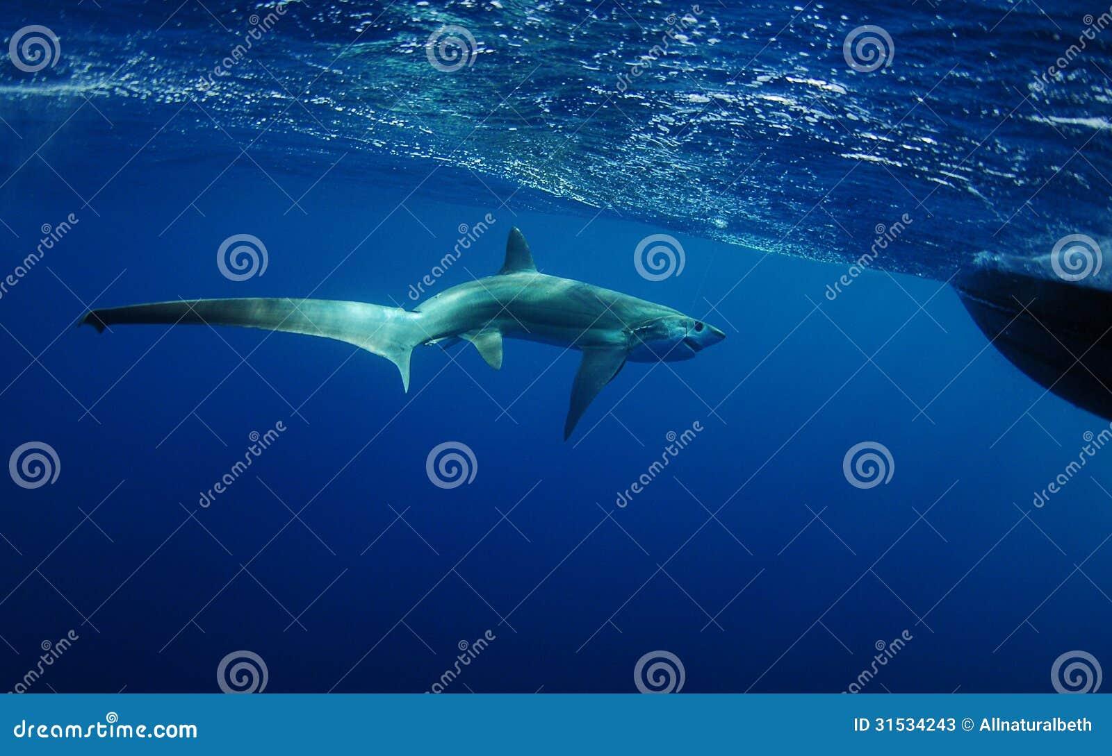 Natation de requin de batteuse dans l océan sous-marin