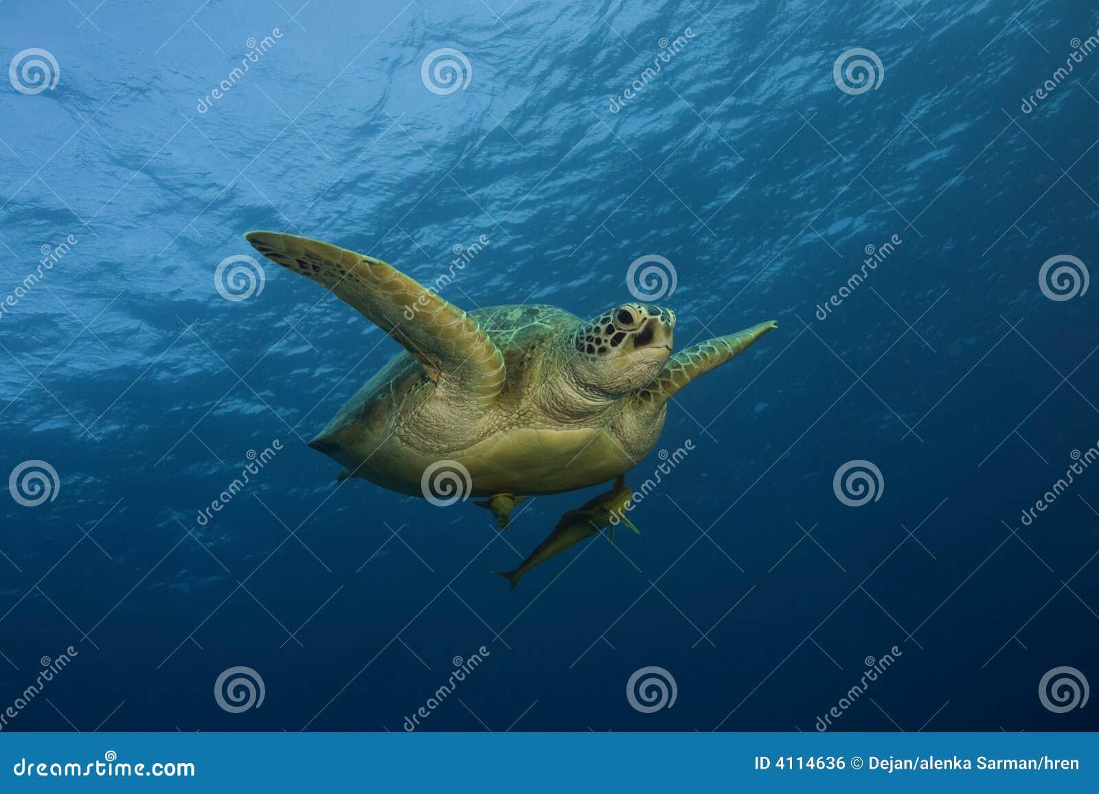 Natation de tortue de mer dans l océan