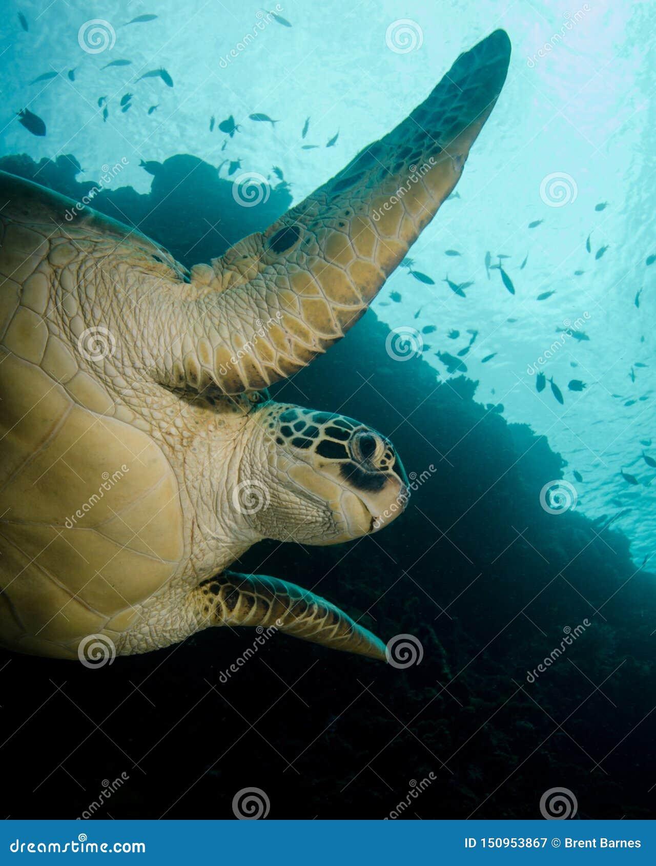 Natation de tortue verte dans Sulawesi du nord, Indonésie