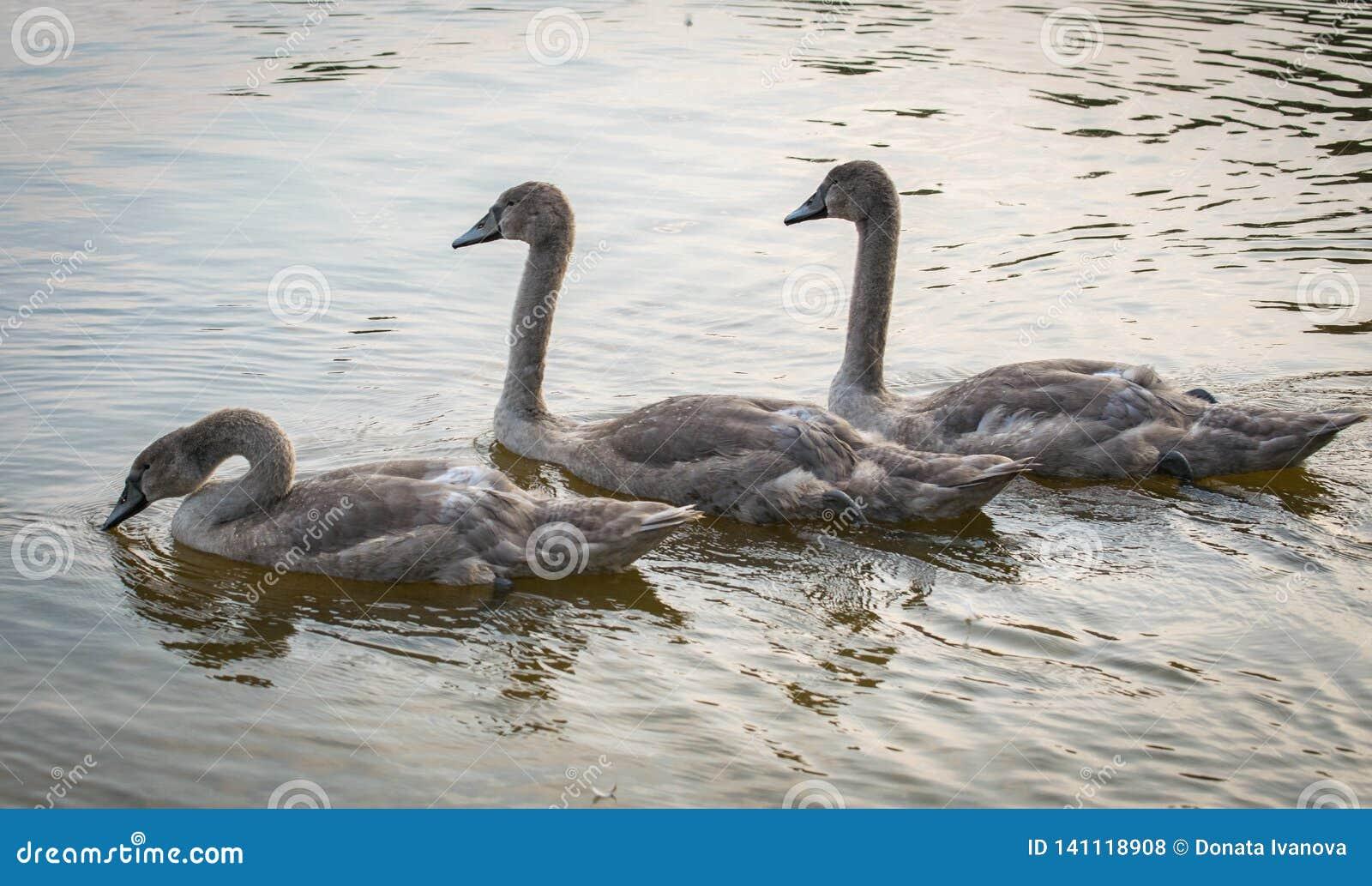Natation de trois Grey Swans sur un lac Trois jeunes cygnes gracieux flottant sur une eau