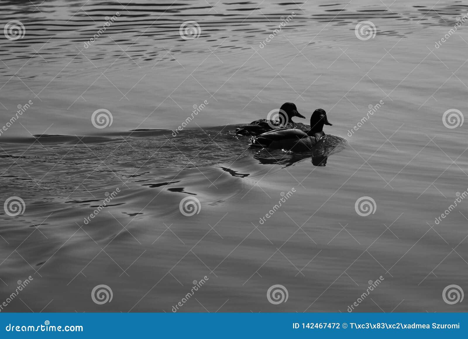 Natation en rivière