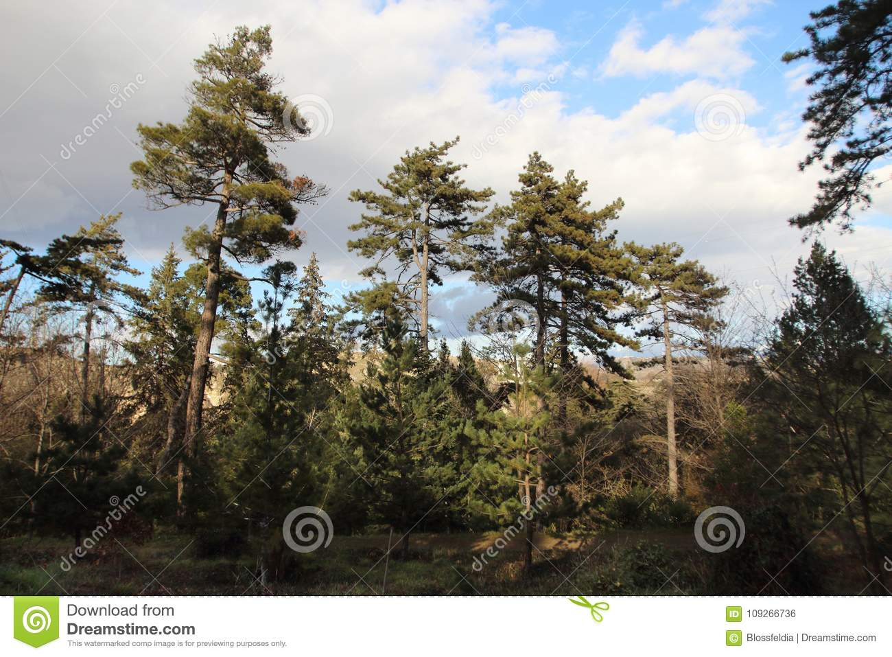 The Pines In The Botanical Garden In Tbilisi City In Winter Stock ...