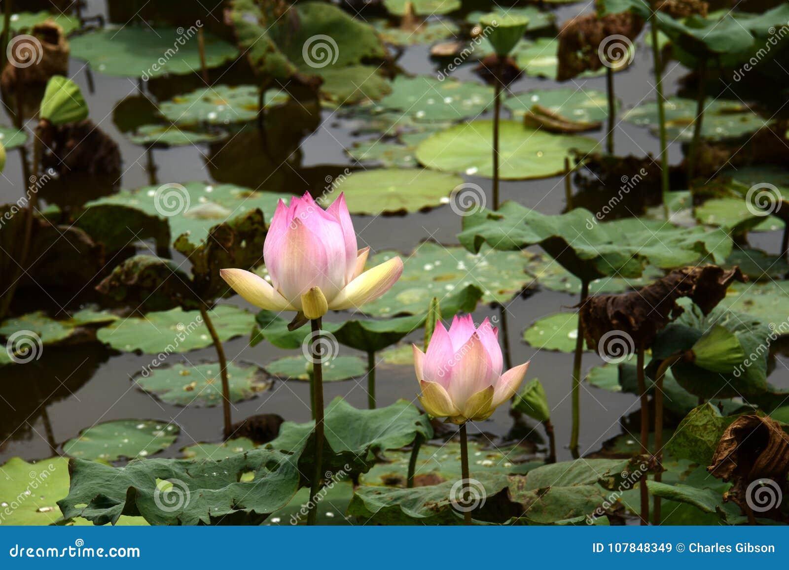 Lotus Plants And Flowers Nelumbo Nucifera Stock Image Image Of