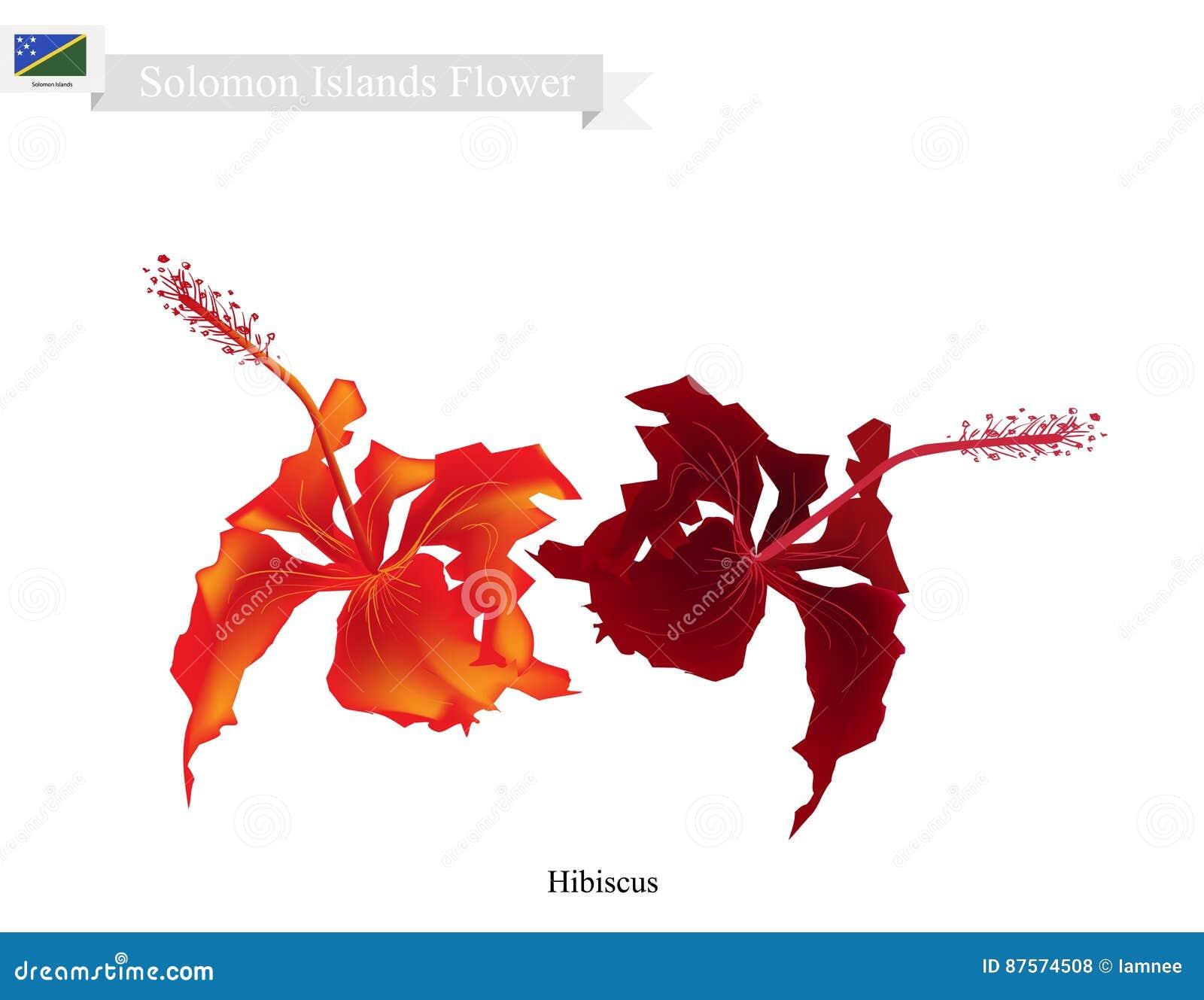 National flower of solomon the hibiscus flowers stock vector national flower of solomon the hibiscus flowers izmirmasajfo